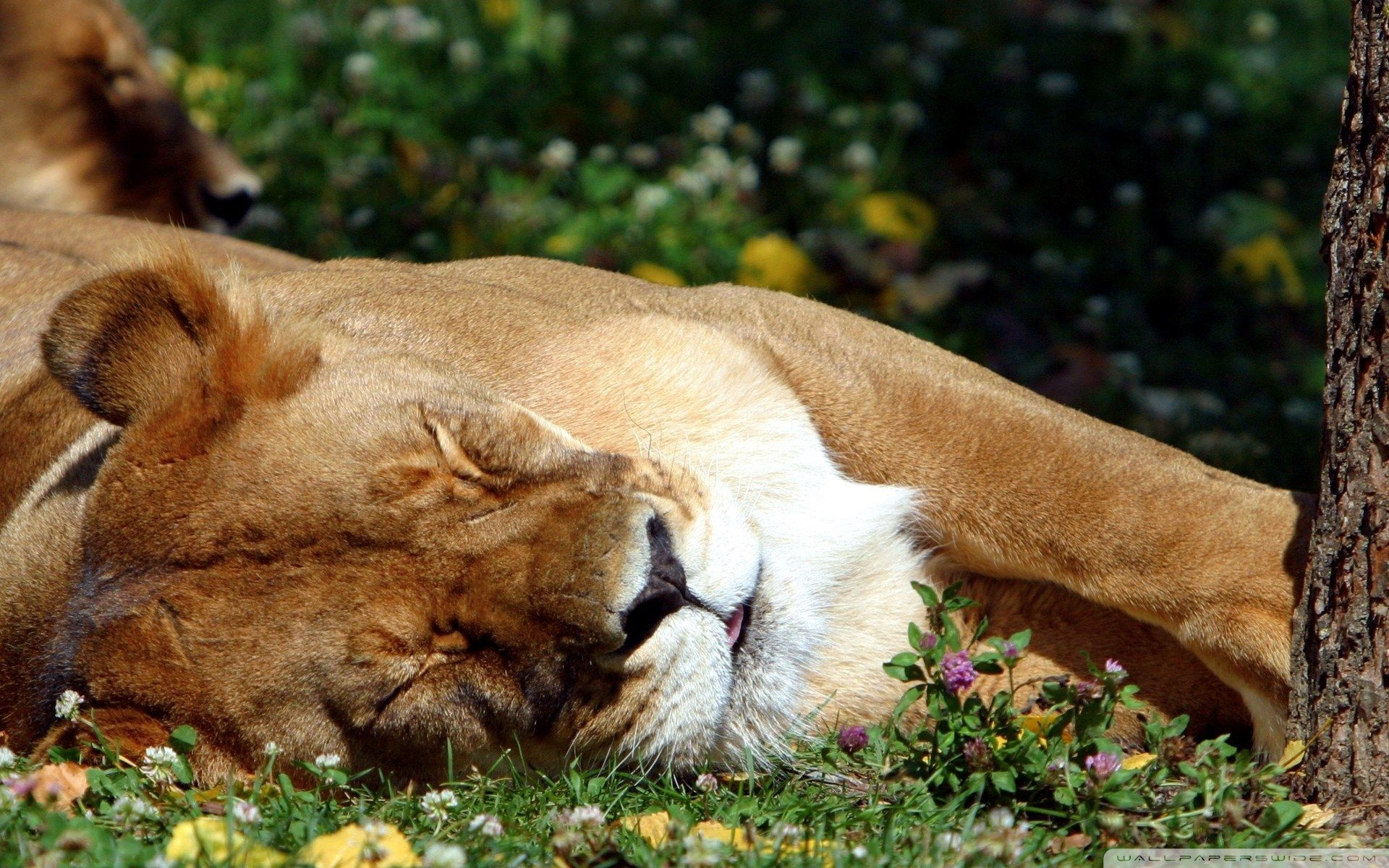 Sleeping Female Lion