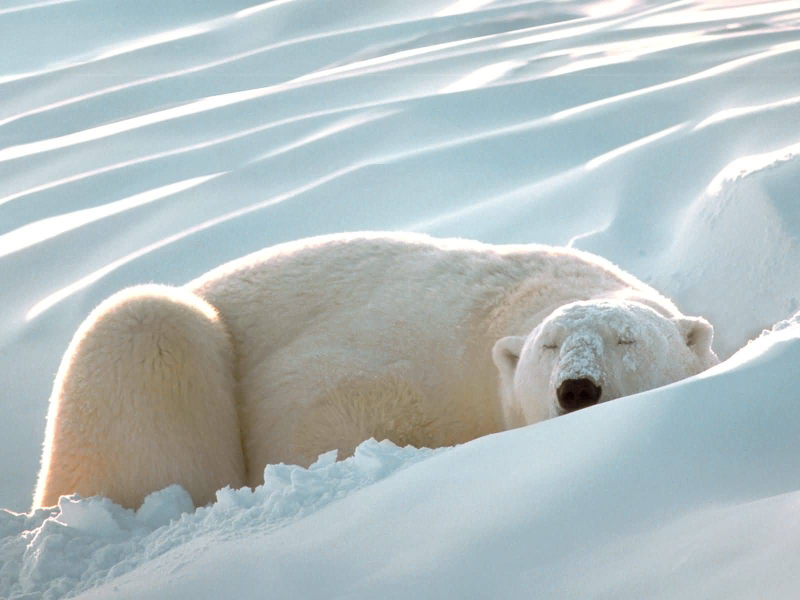 Sleeping Beauty Polar Bear.