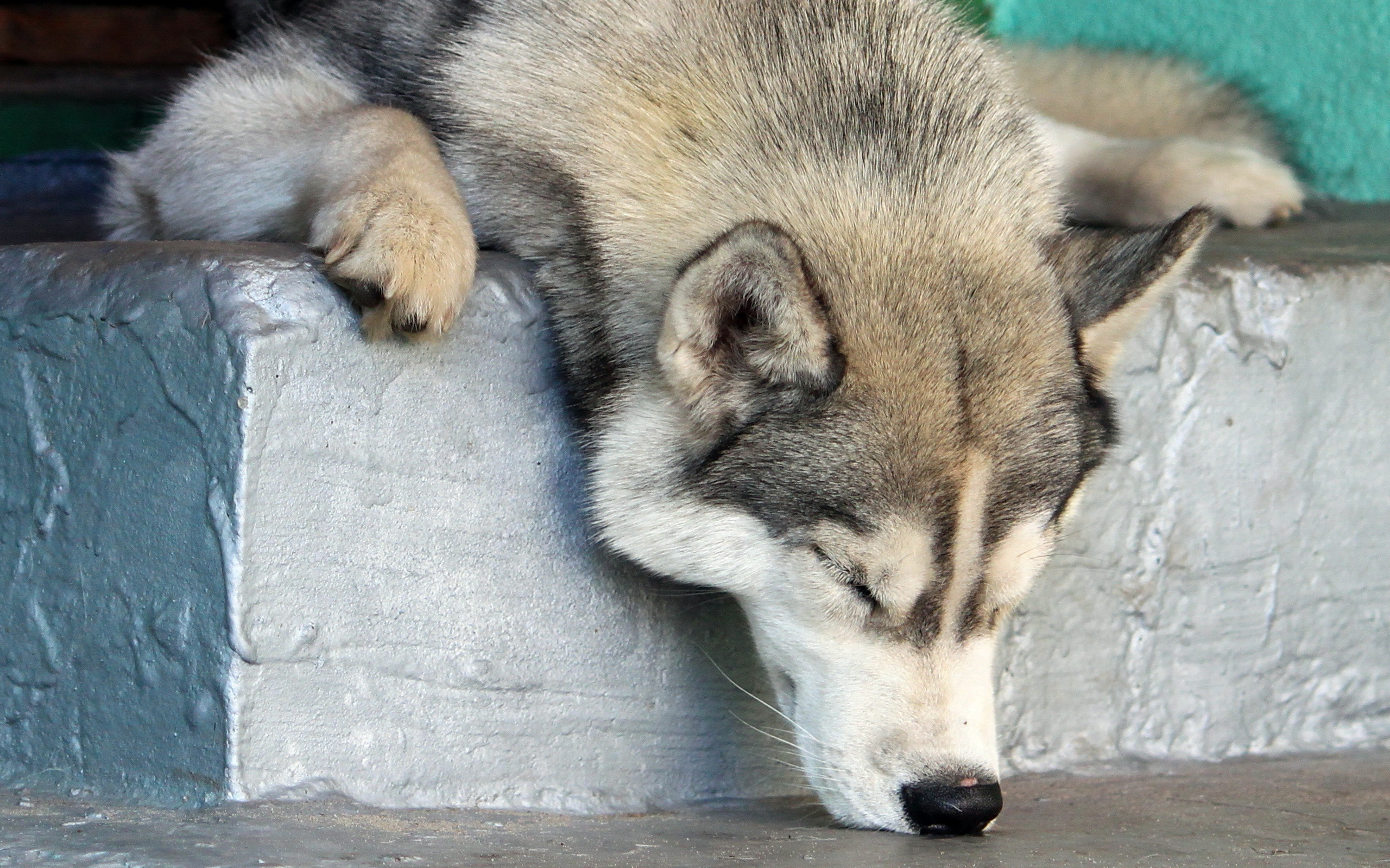 Sleepy husky