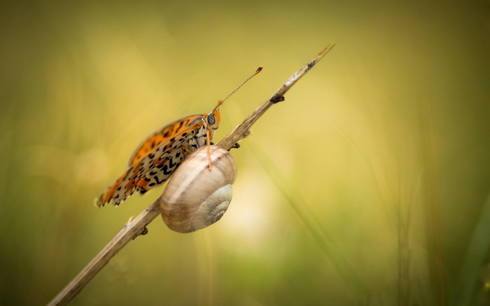 Snail Butterfly