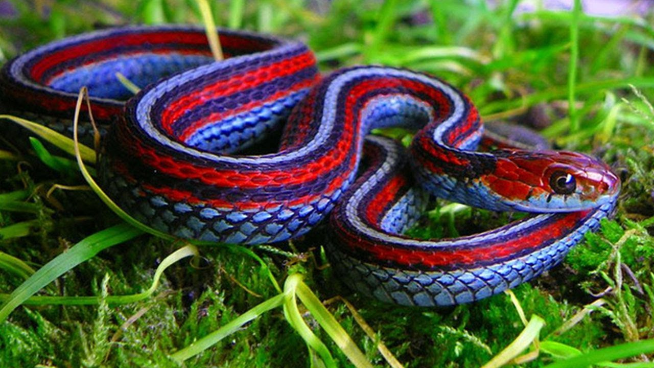 The Most Colorful Snake - California Red-Sided Garter Snake