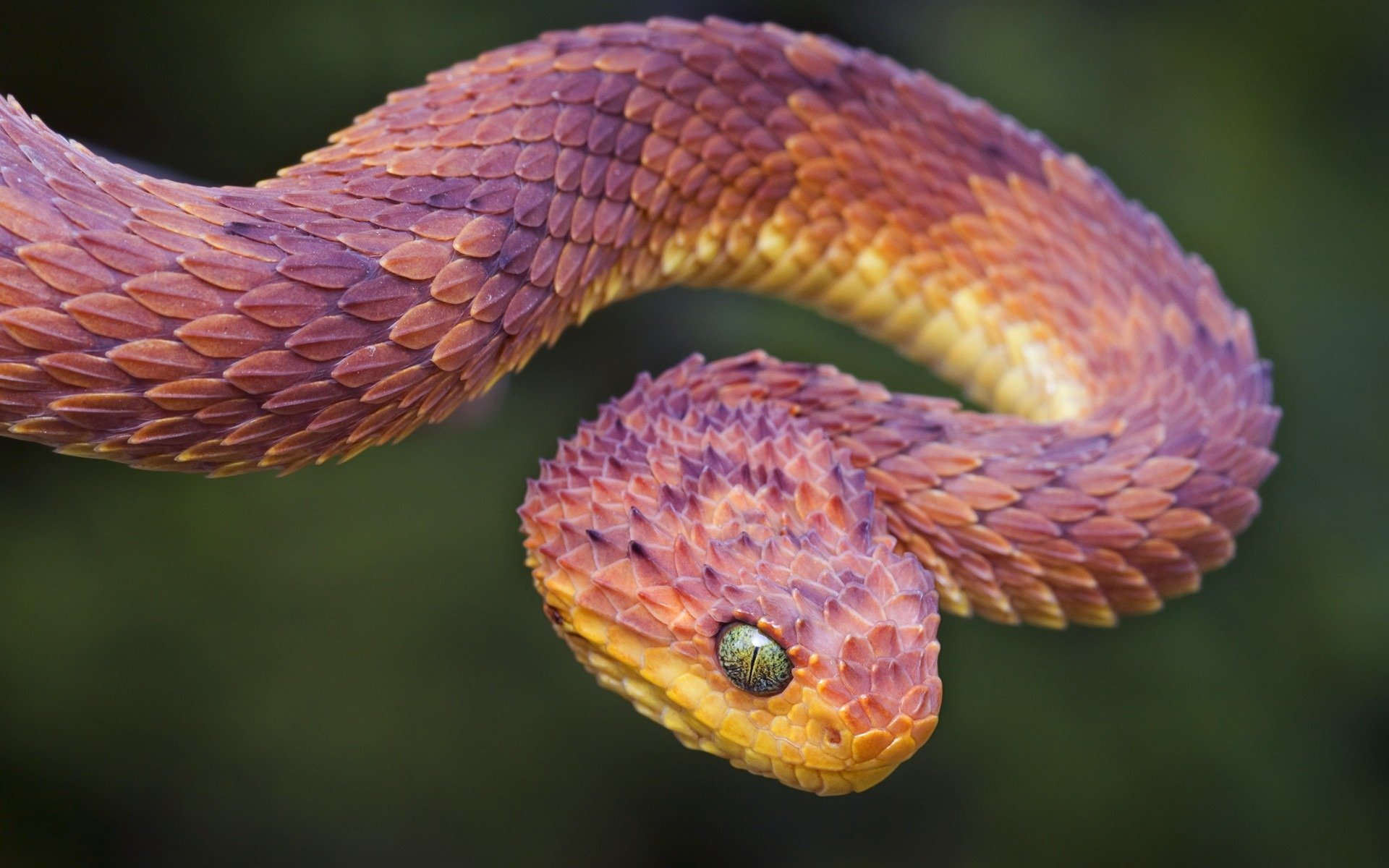 5 – Peruvian Dragon Snake. No, your eyes aren't playing tricks on you: this snake is pointy as hell. Any expert would tell you not to pick up something that ...