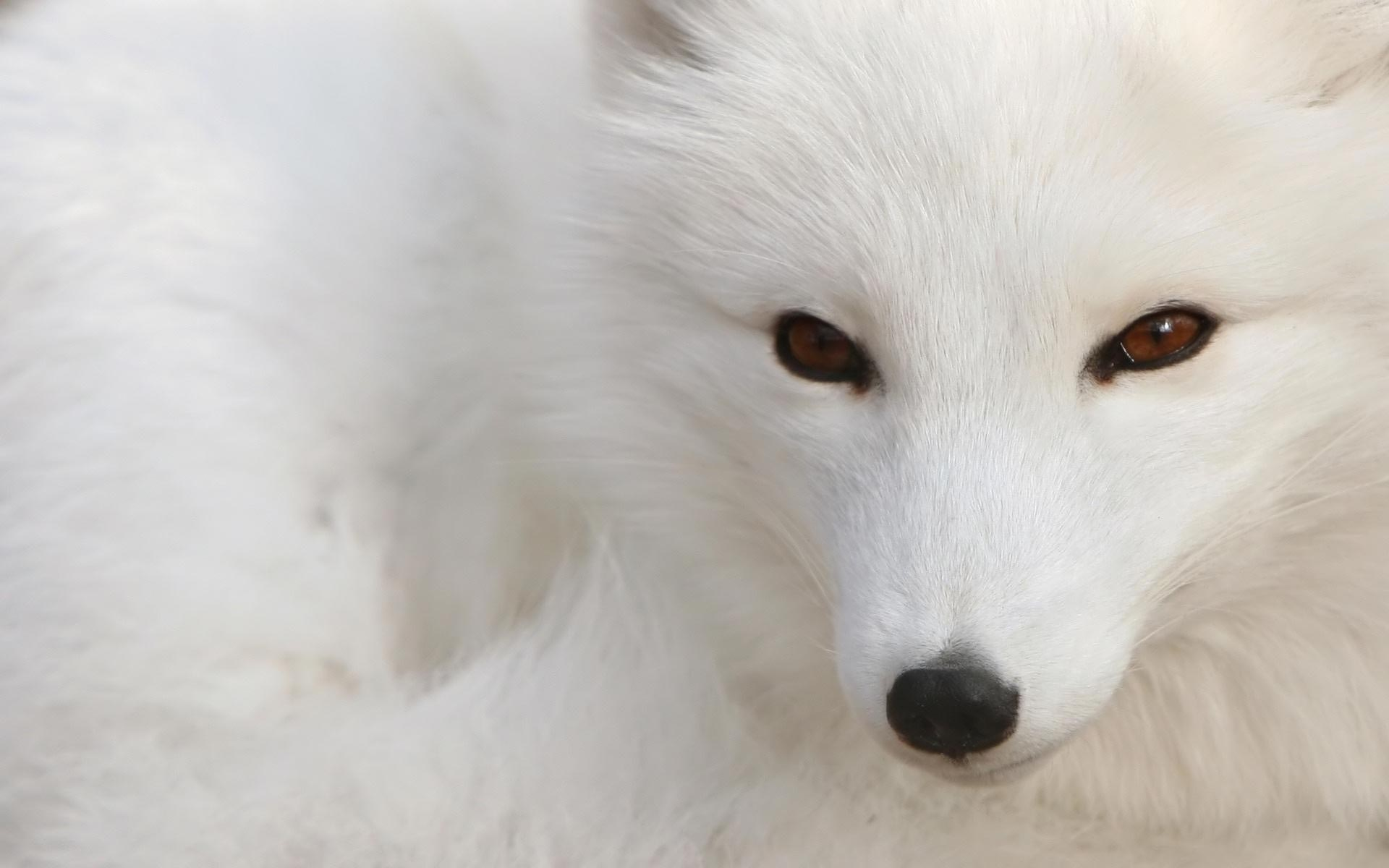 1920x1200 Animal Arctic Fox