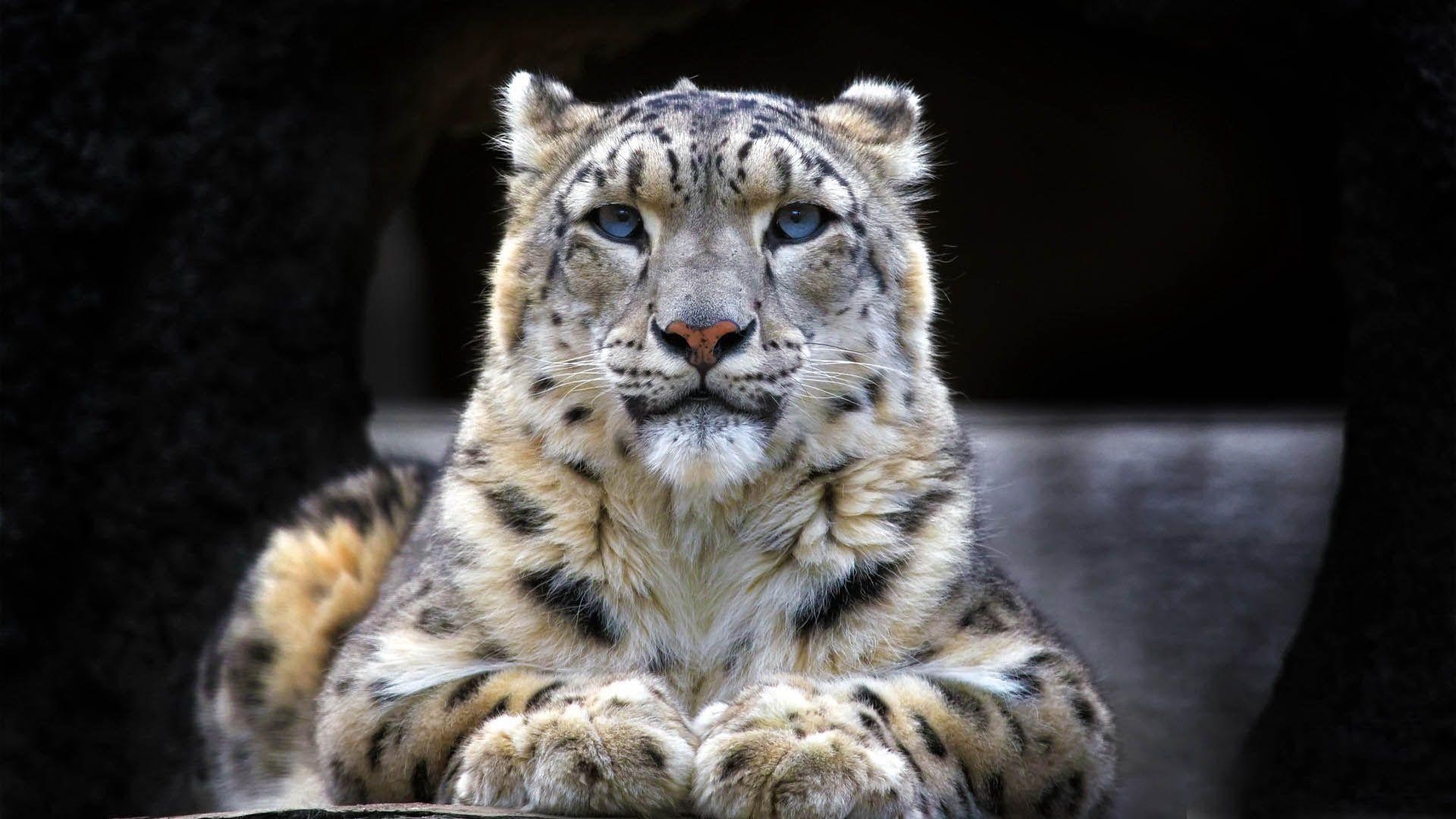 snow leopard wallpaper | 1920x1080 | #59083