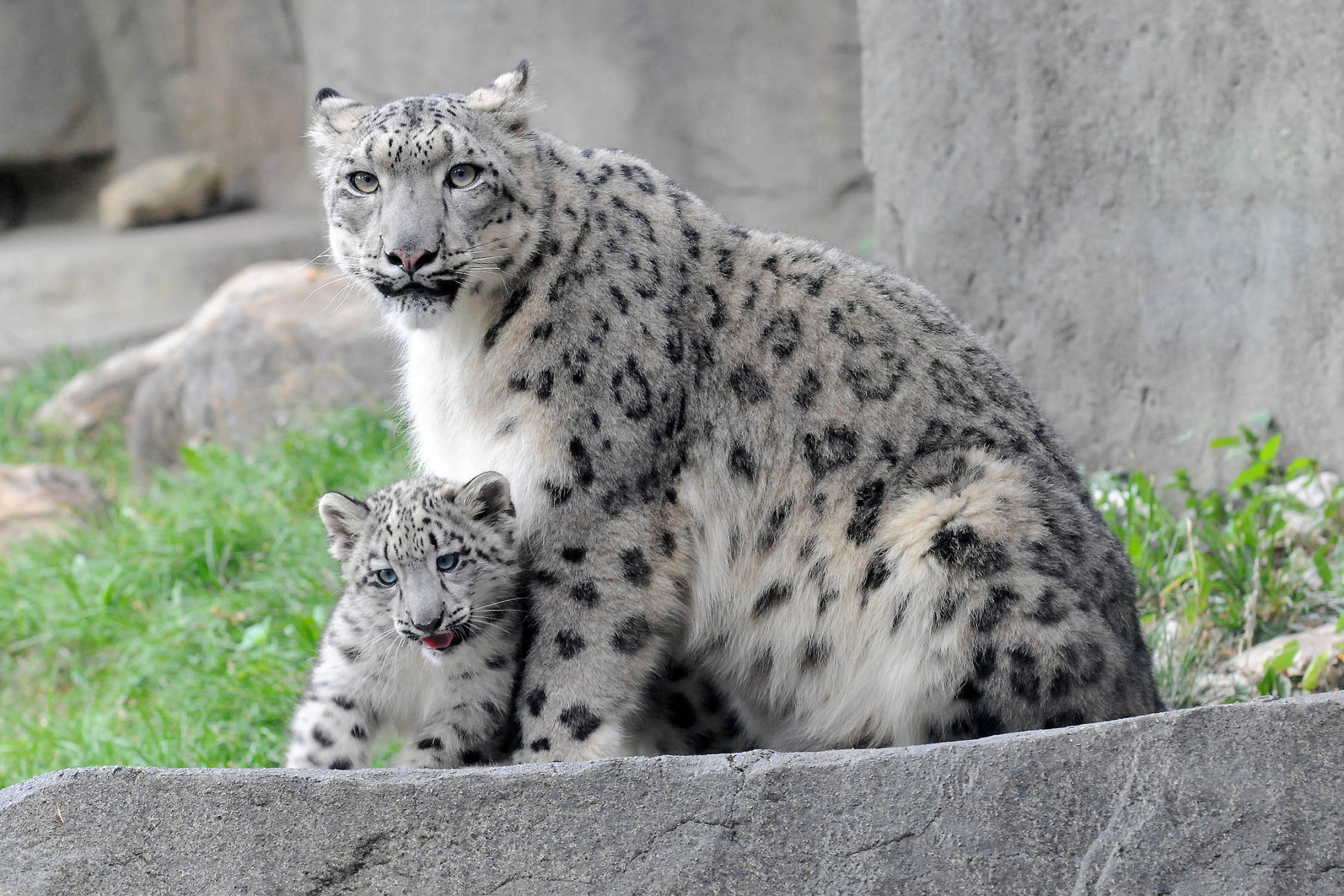 Snow Leopard Cub Can't Stop Jumping On Things During Public Debut At Brookfield Zoo (VIDEO, PHOTOS)