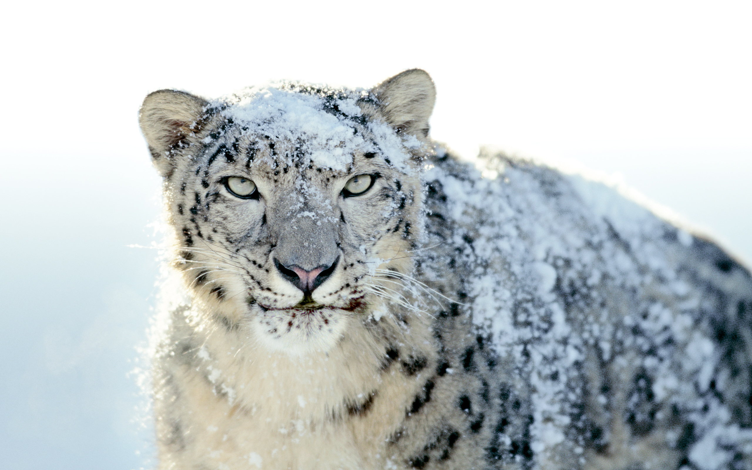 Snow Leopard Background