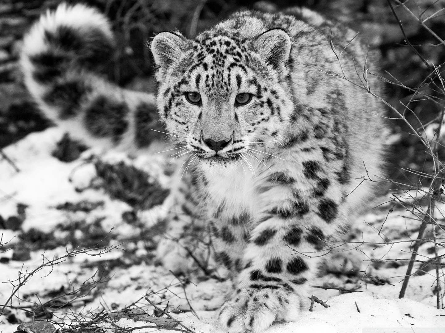 Snow Leopard Pictures