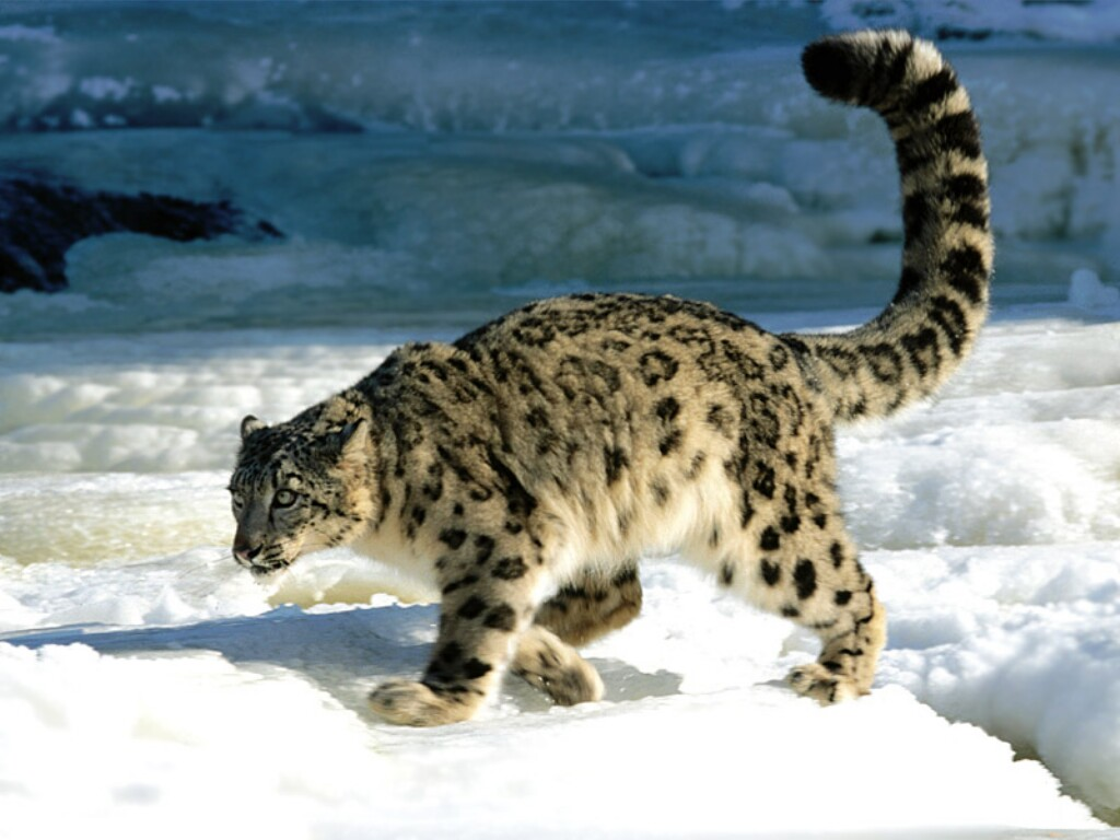 Snow leopard tails are beautiful.
