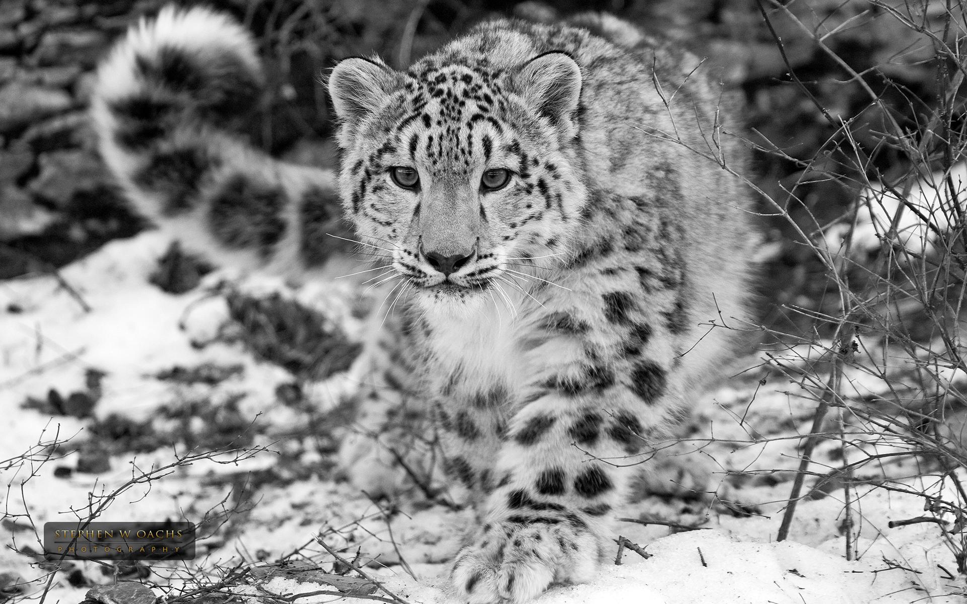 Snow Leopard 1080p
