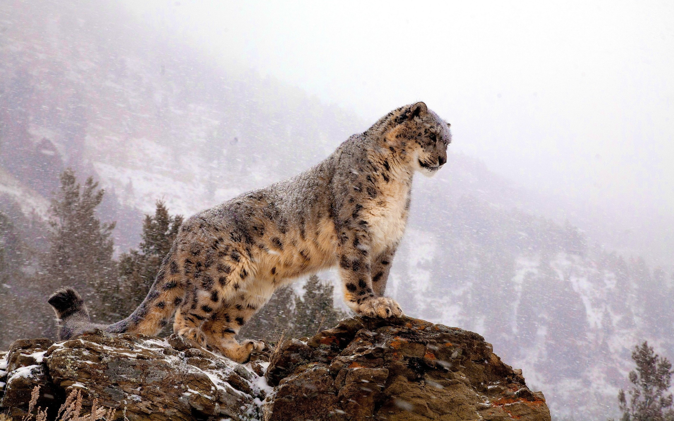 Snow Leopard HD Wallpaper Free Download