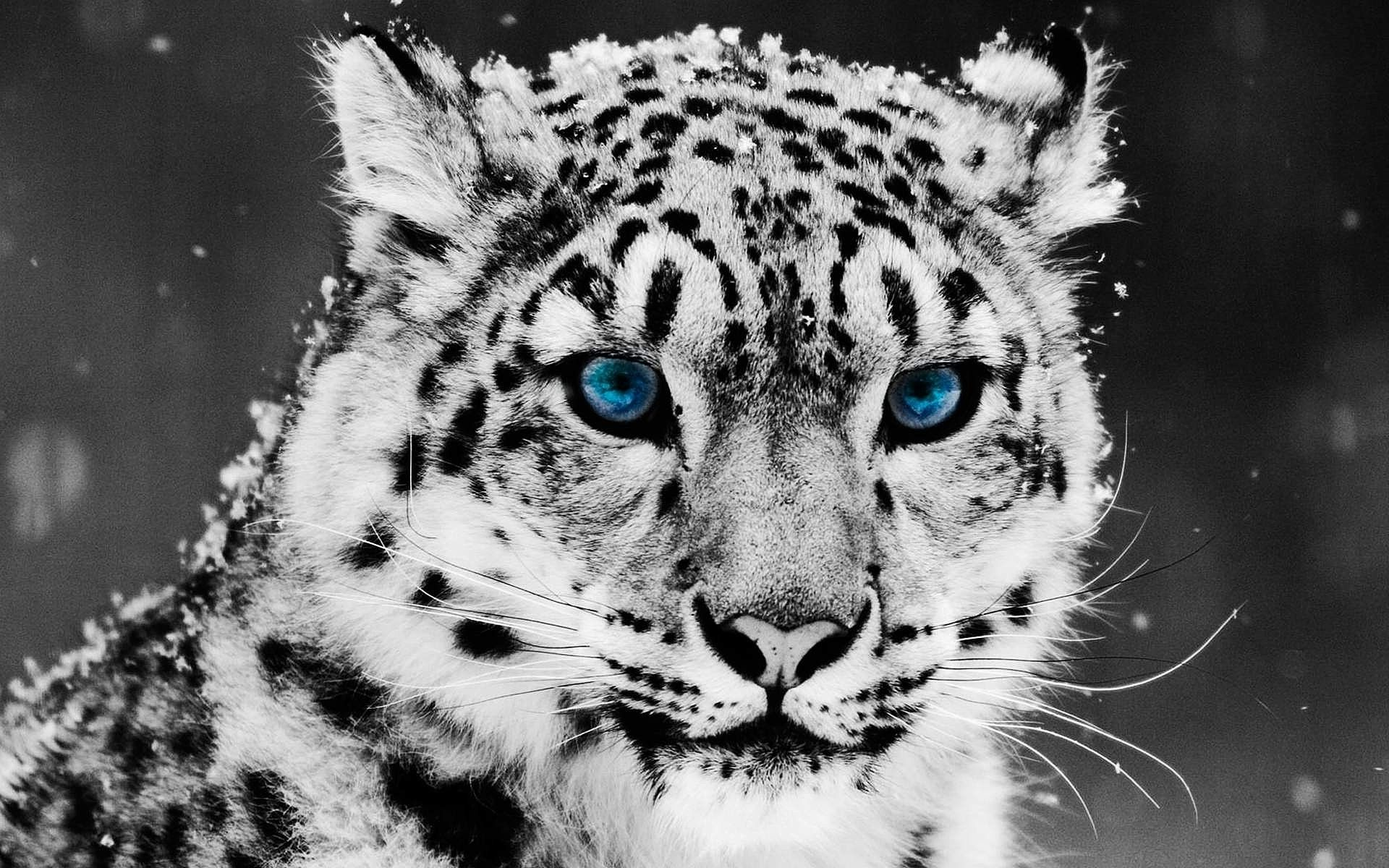 ... anry-snow-leopard-wallpapers blue_eyed_snow_leopard-wide ...