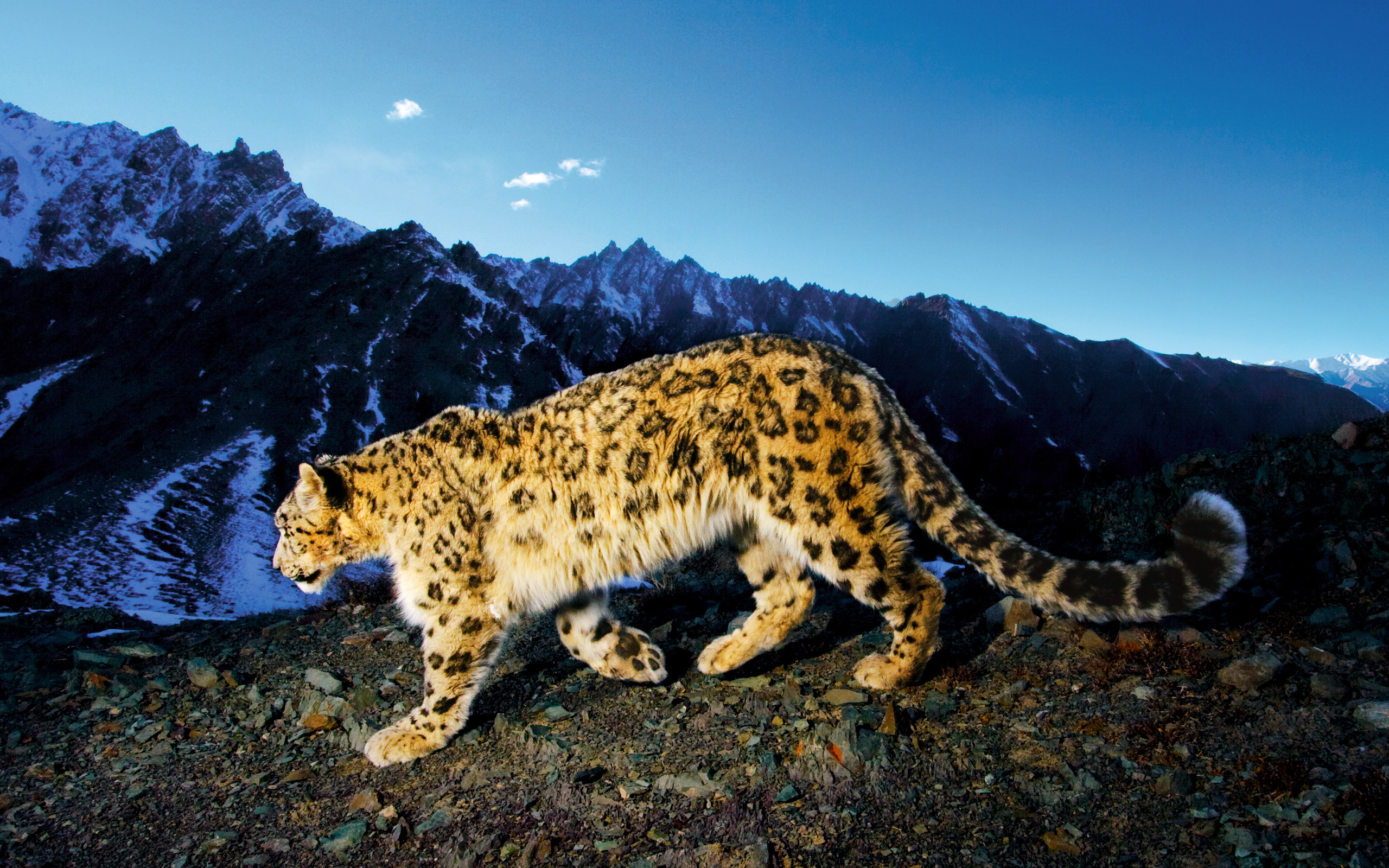 Stunning Snow Leopard Wallpaper