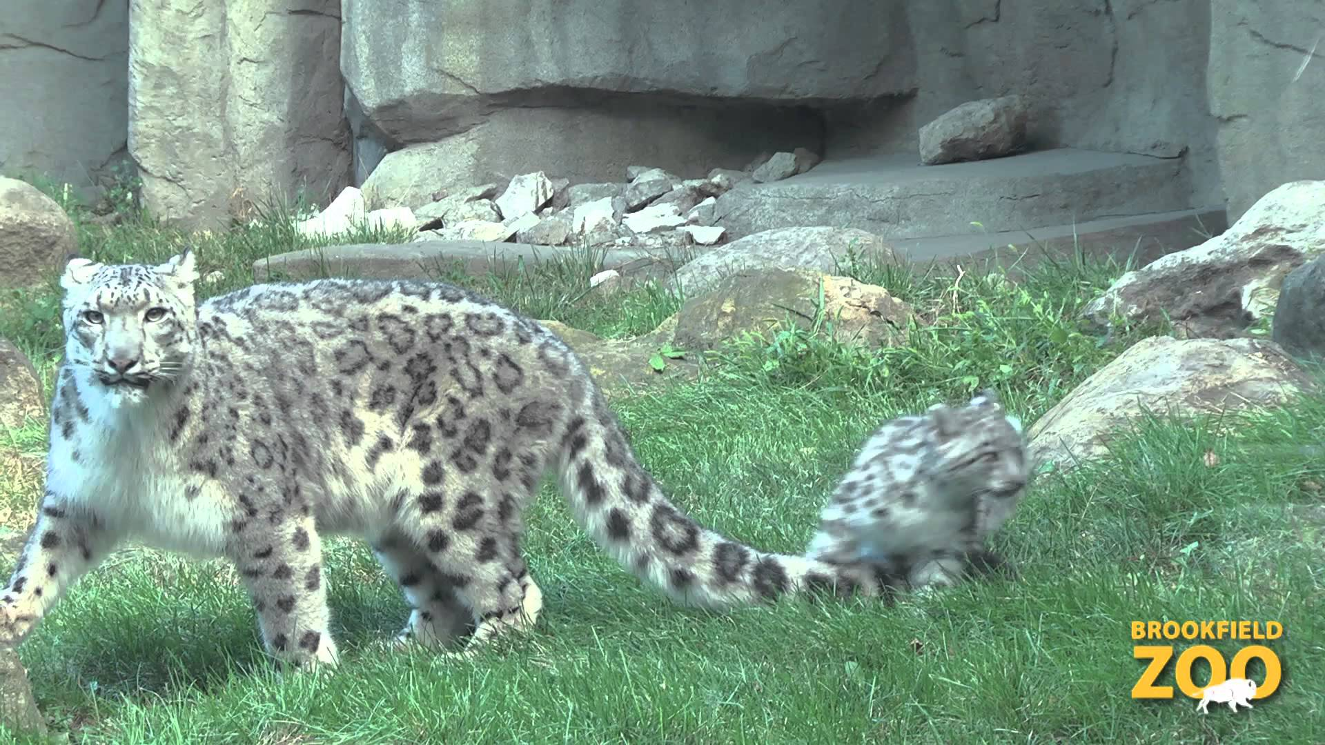 Snow Leopard Zoo
