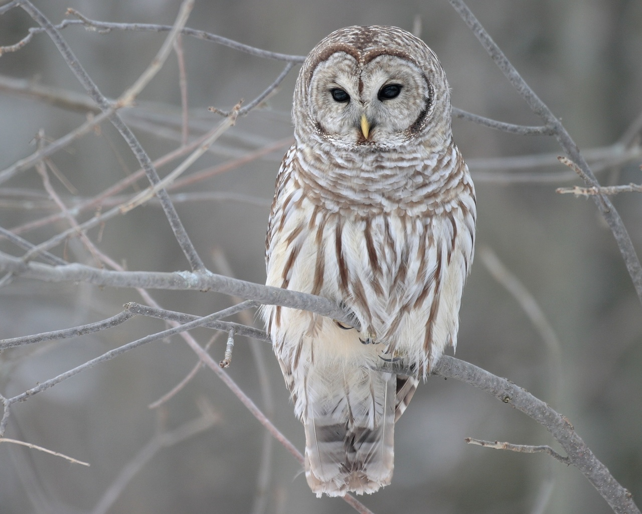 Snow Owl Branch