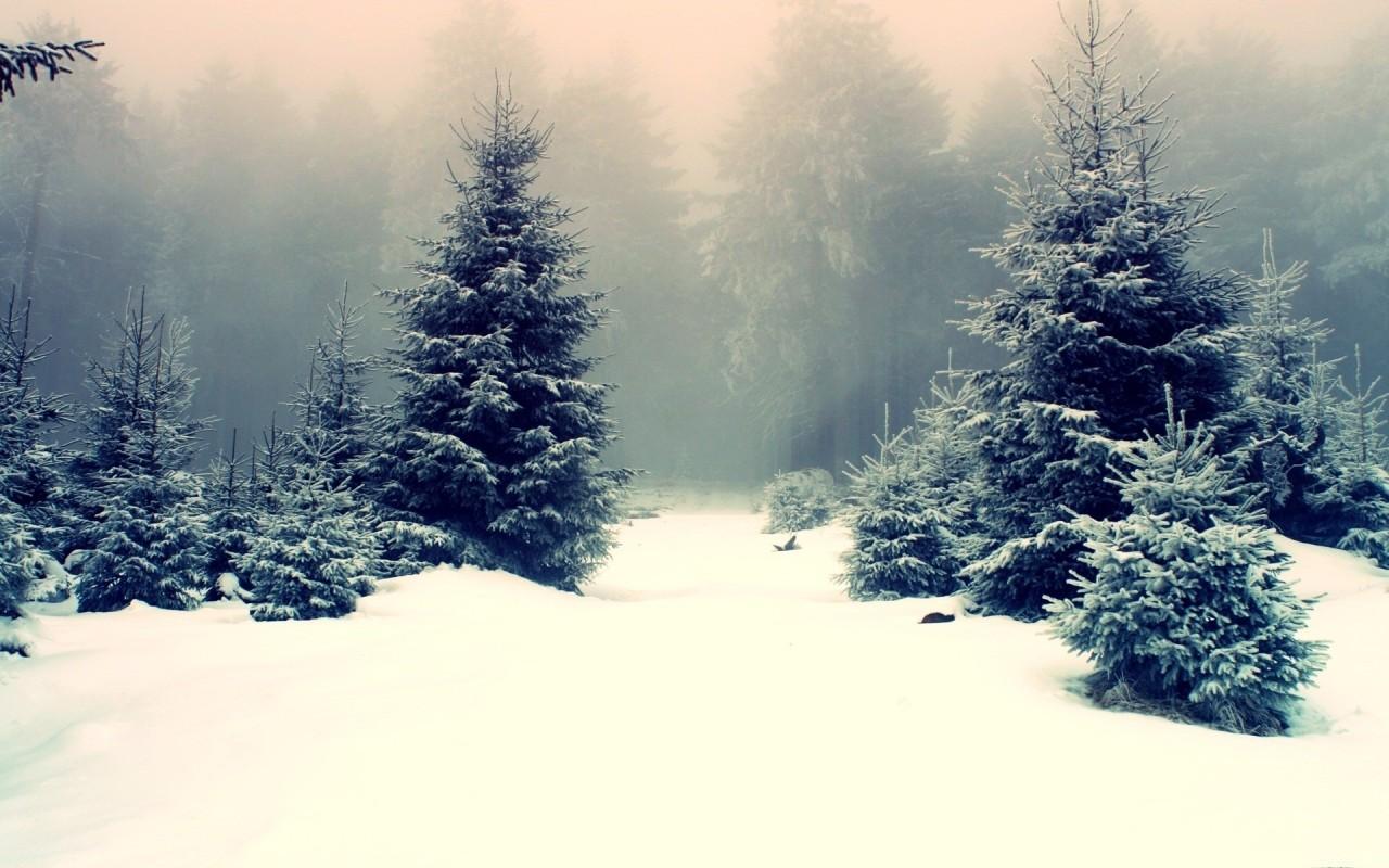 Snow Pine Wallpaper