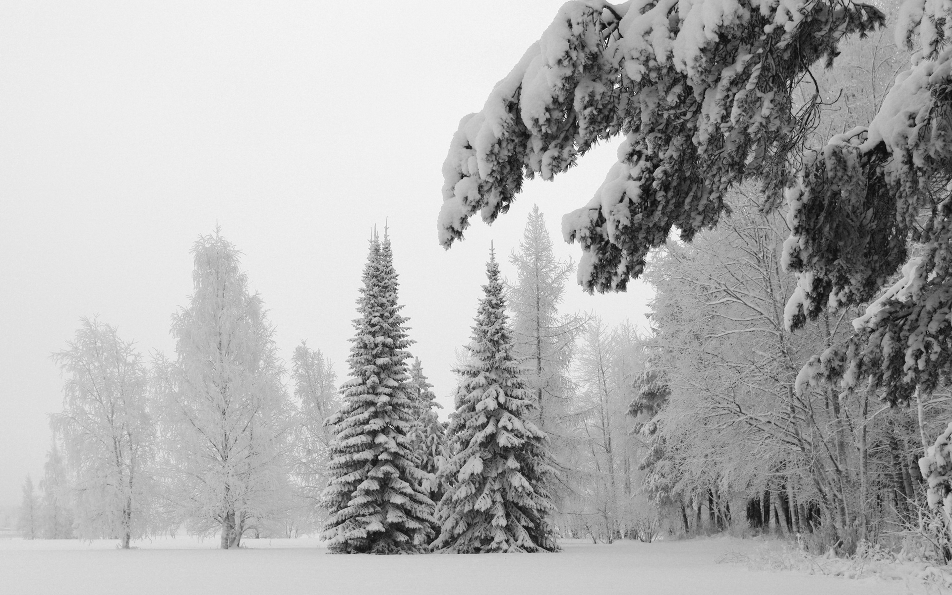 ... Snow Pine Wallpaper ...