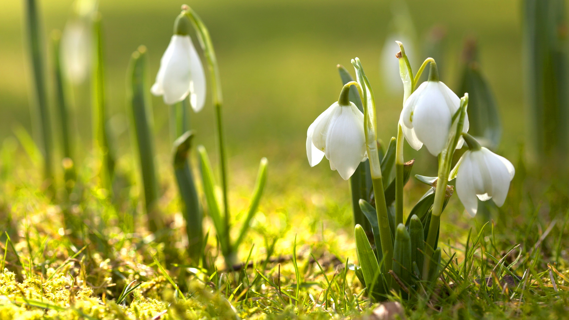 Snowdrops Spring Flowers wallpaper
