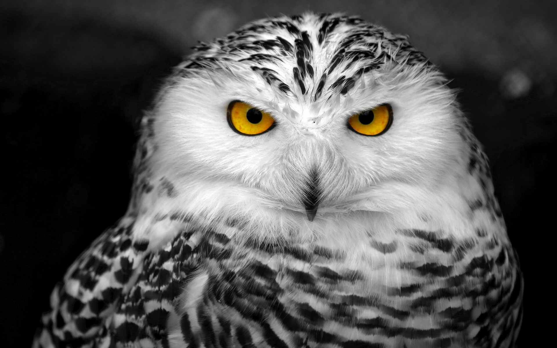 Snowy Owl Wallpaper 1920x1200 59095