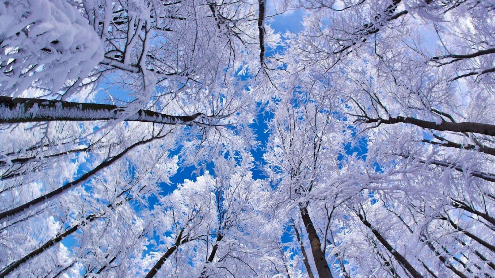 Snowy Trees Picture