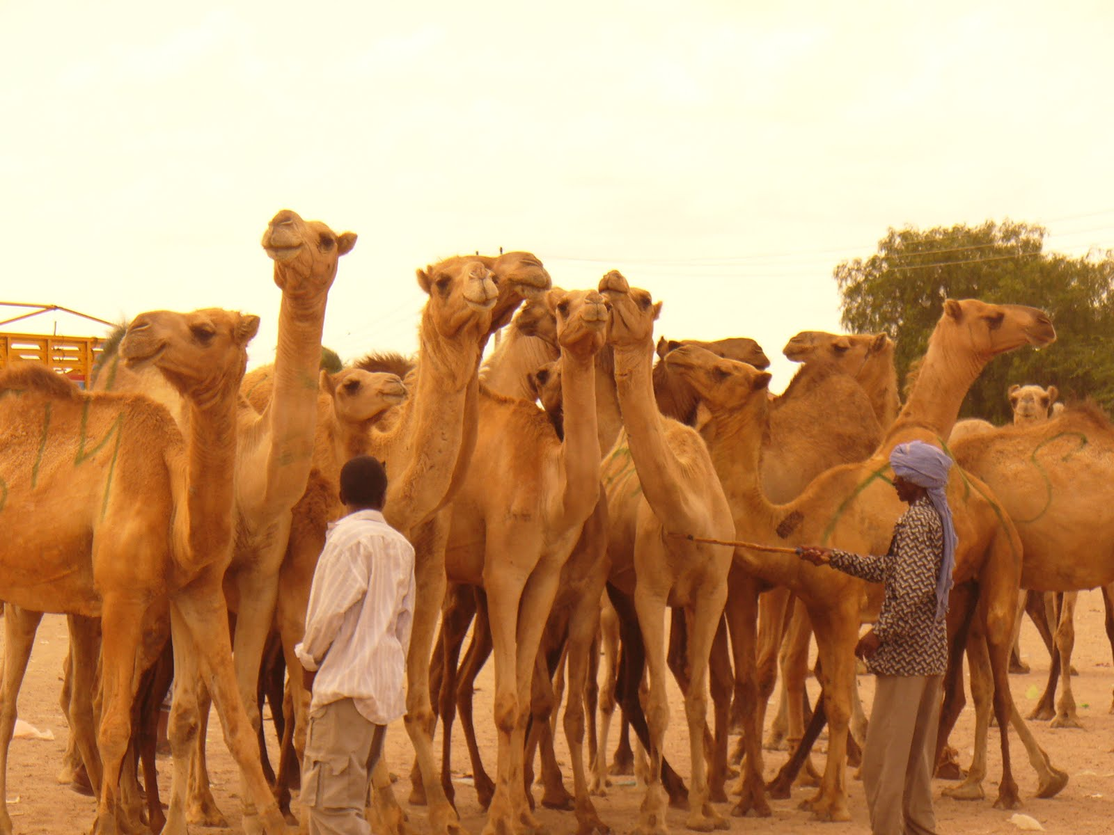 THIS IS A CAMEL THAT WE ACTUALLY DRINK A MILK FROM IT, AND ALSO WE EAT THEIR MEET..:)