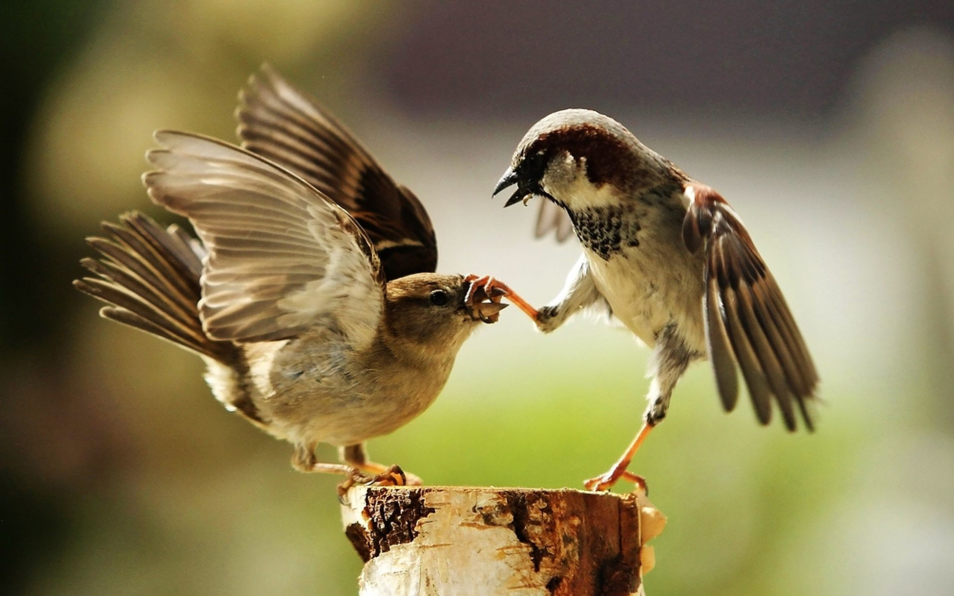 Sparrow Birds Playing (click to view)