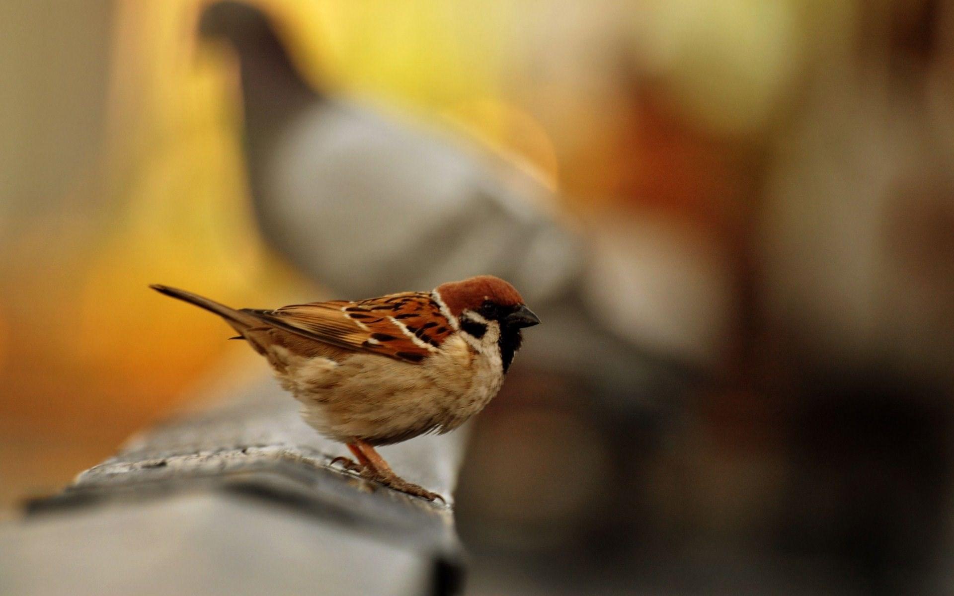 Sparrow Bird Macro