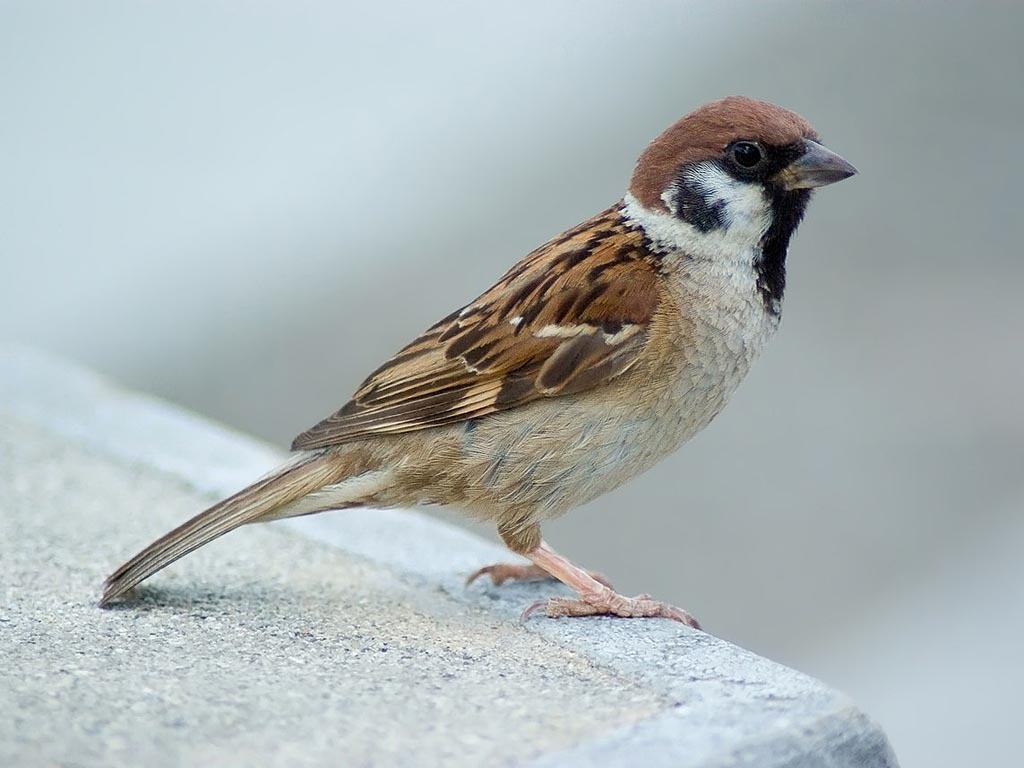Sparrow, House Passer domesticus Found: Africa, Asia. Introduced to North America and elsewhere.