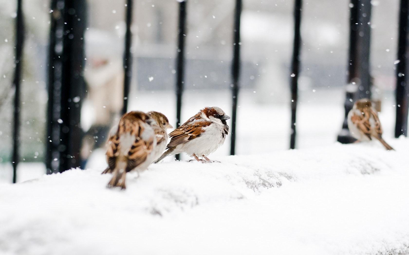 Sparrows Birds Snow