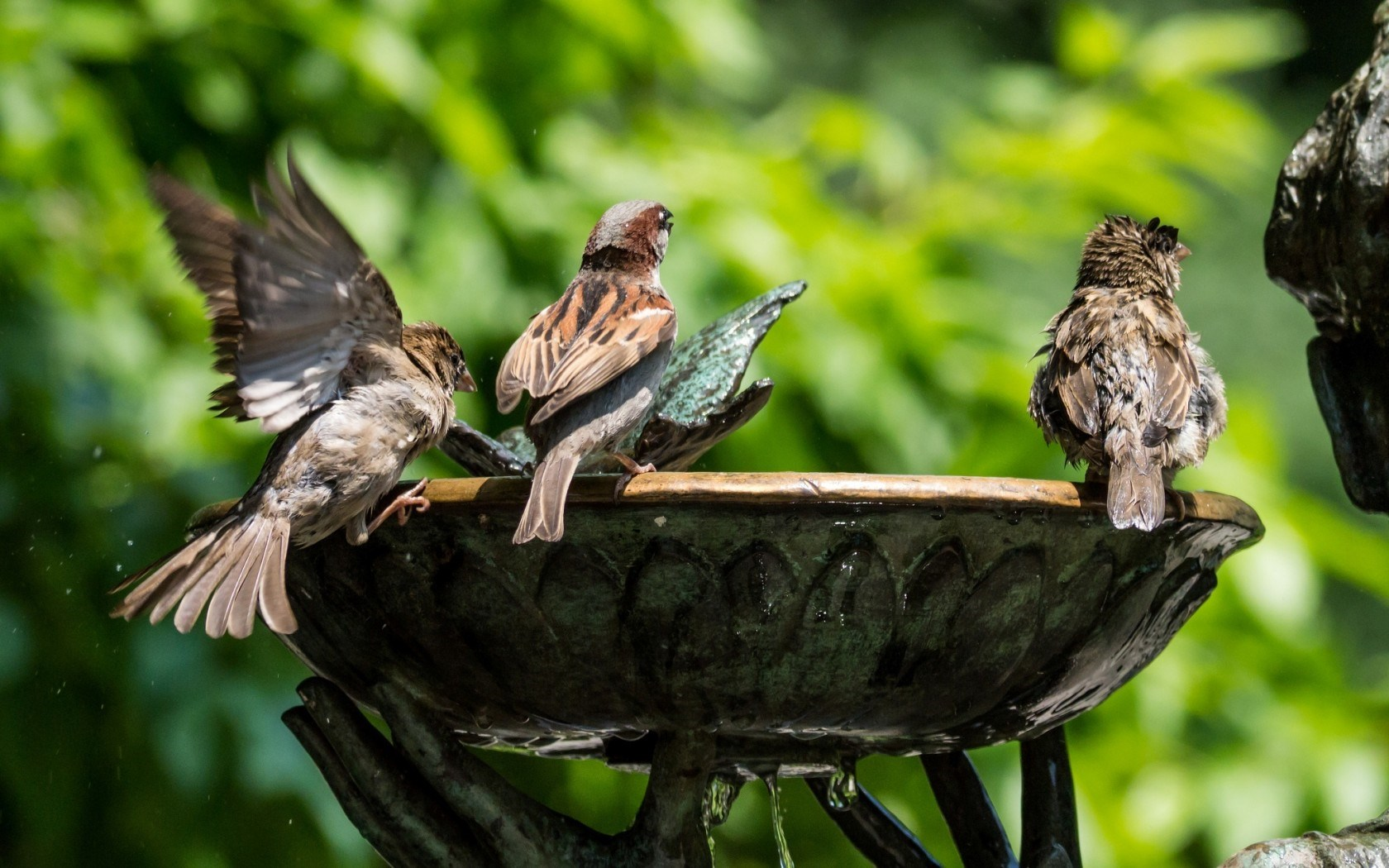 Sparrows Birds Water Fountain