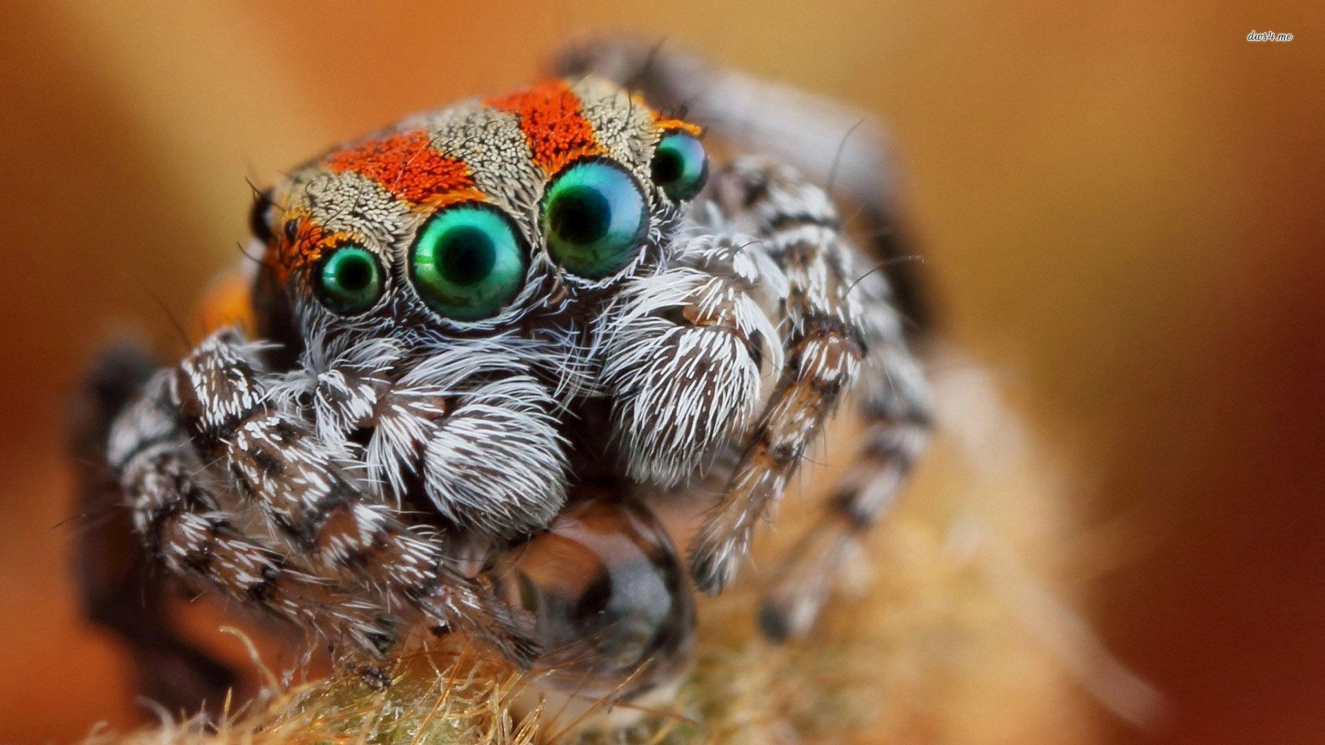 ... Jumping spider close up wallpaper 1920x1080 ...
