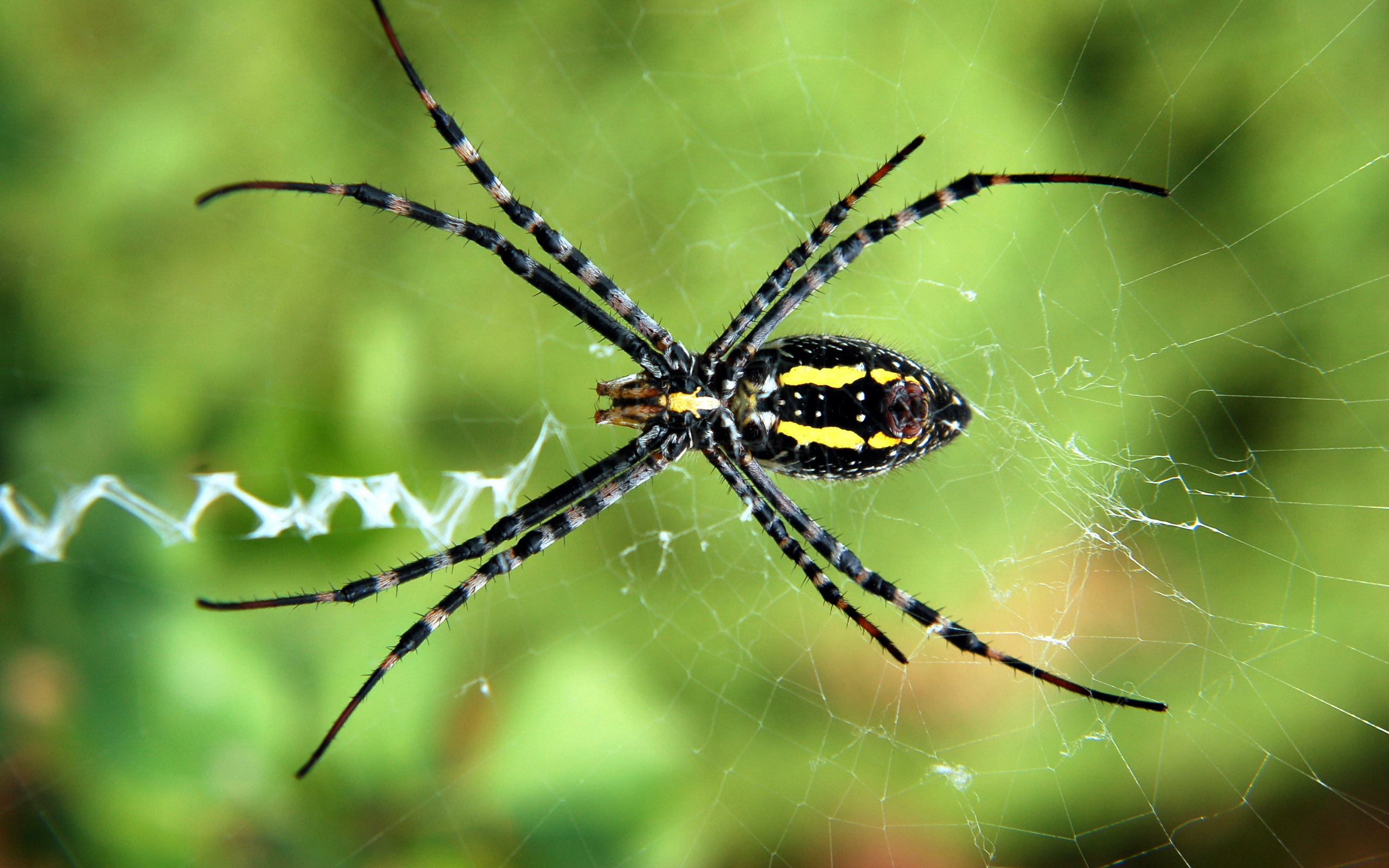 Backyard Spider desktop wallpaper