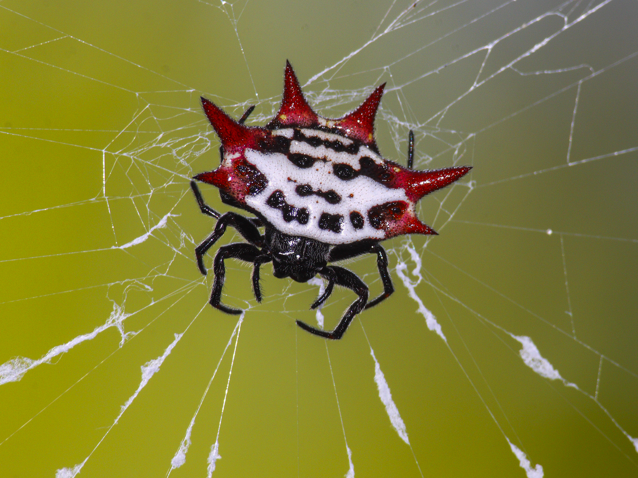 A photo of a Spinybacked orb-weaver spider.