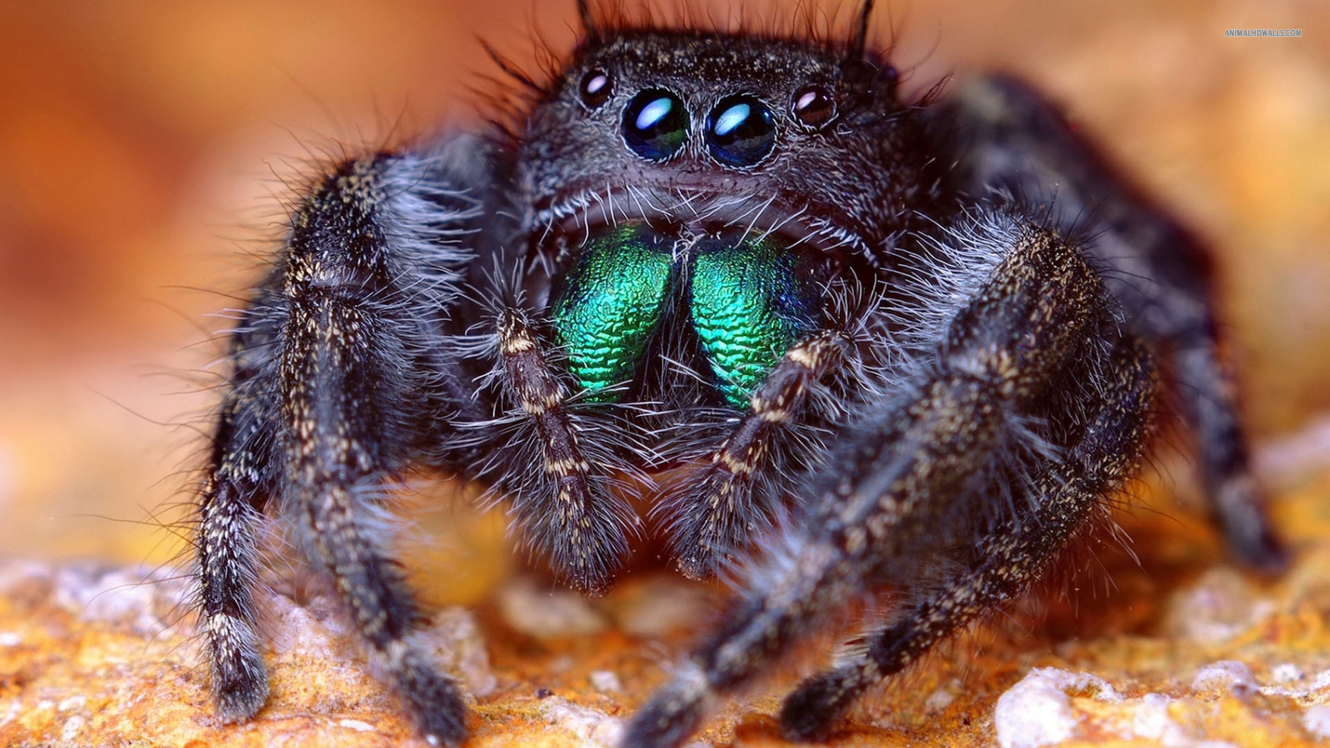 Jumping spider wallpaper 1920x1080