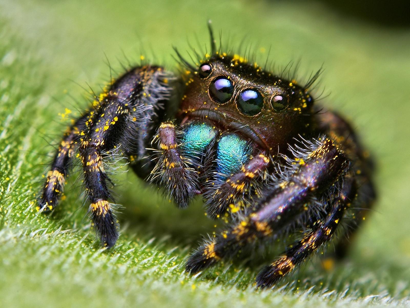 Arachnids Eyes Macro Pollen Spiders Animal