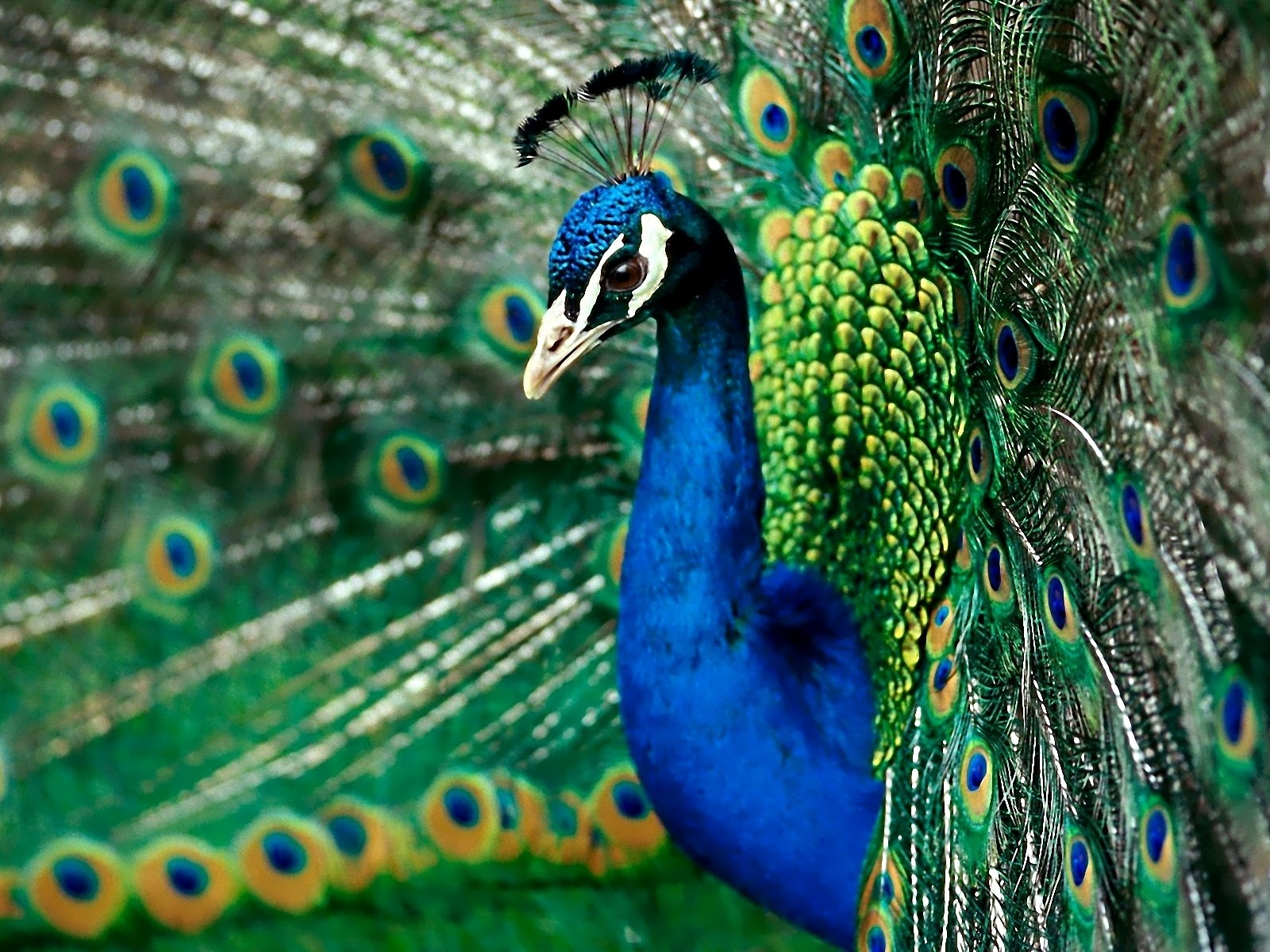 Description: The Wallpaper above is Splendid peacock Wallpaper in Resolution 1600x1200. Choose your Resolution and Download Splendid peacock Wallpaper