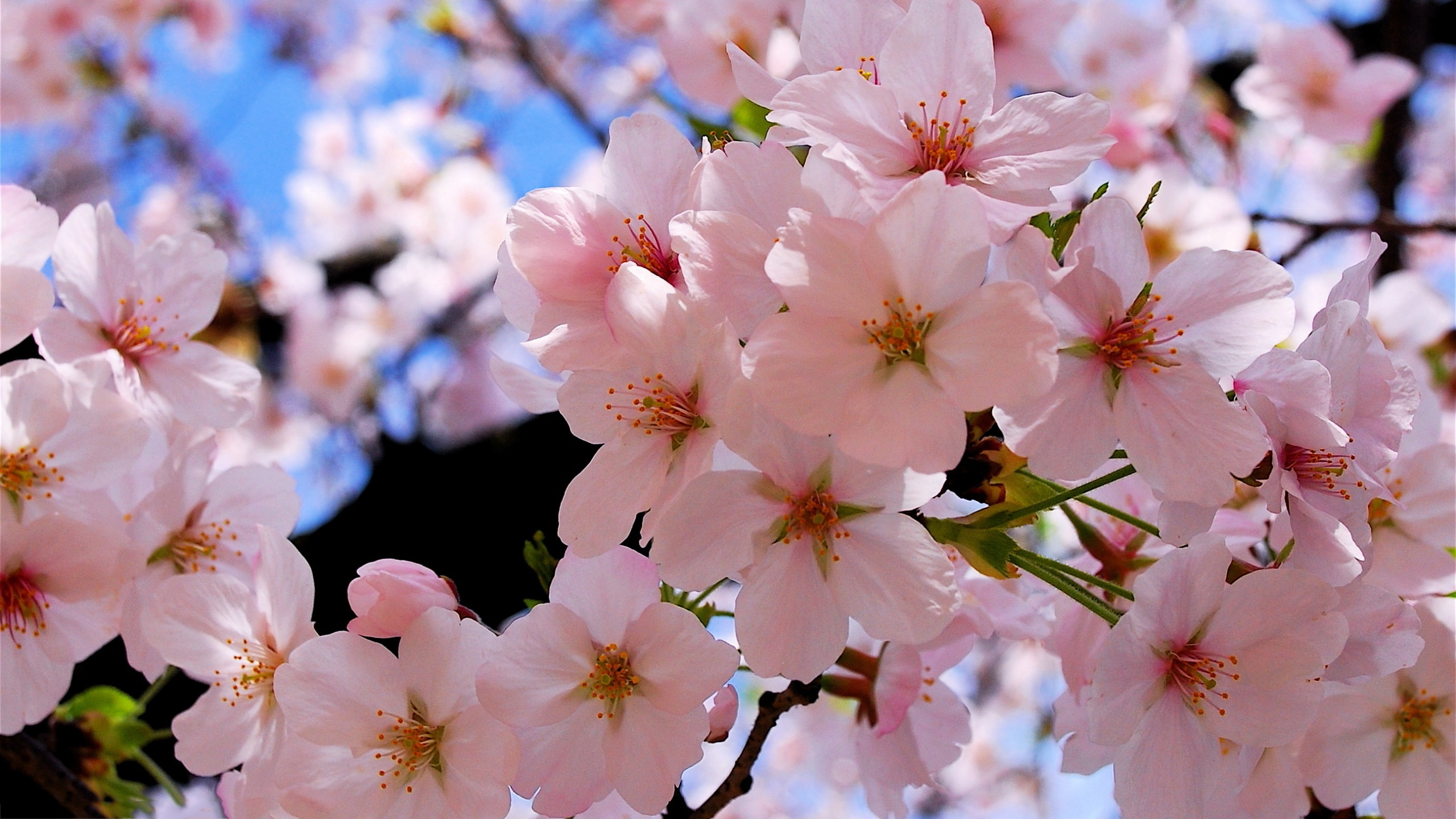 Description: The Wallpaper above is Spring blossoms Wallpaper in Resolution 2560x1440. Choose your Resolution and Download Spring blossoms Wallpaper