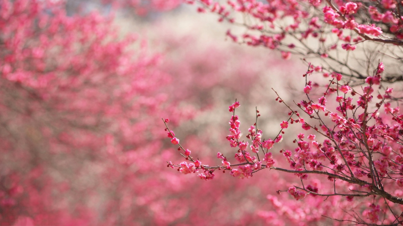Spring blossoms hd