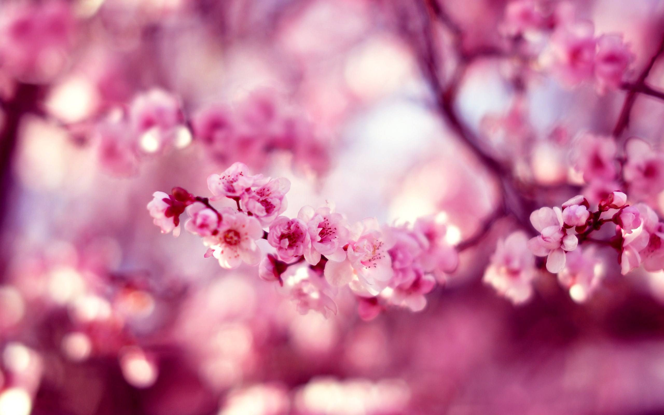 Spring cherry blossom hd wallpaper 2560x1600 31845 Cherry blossom pictures
