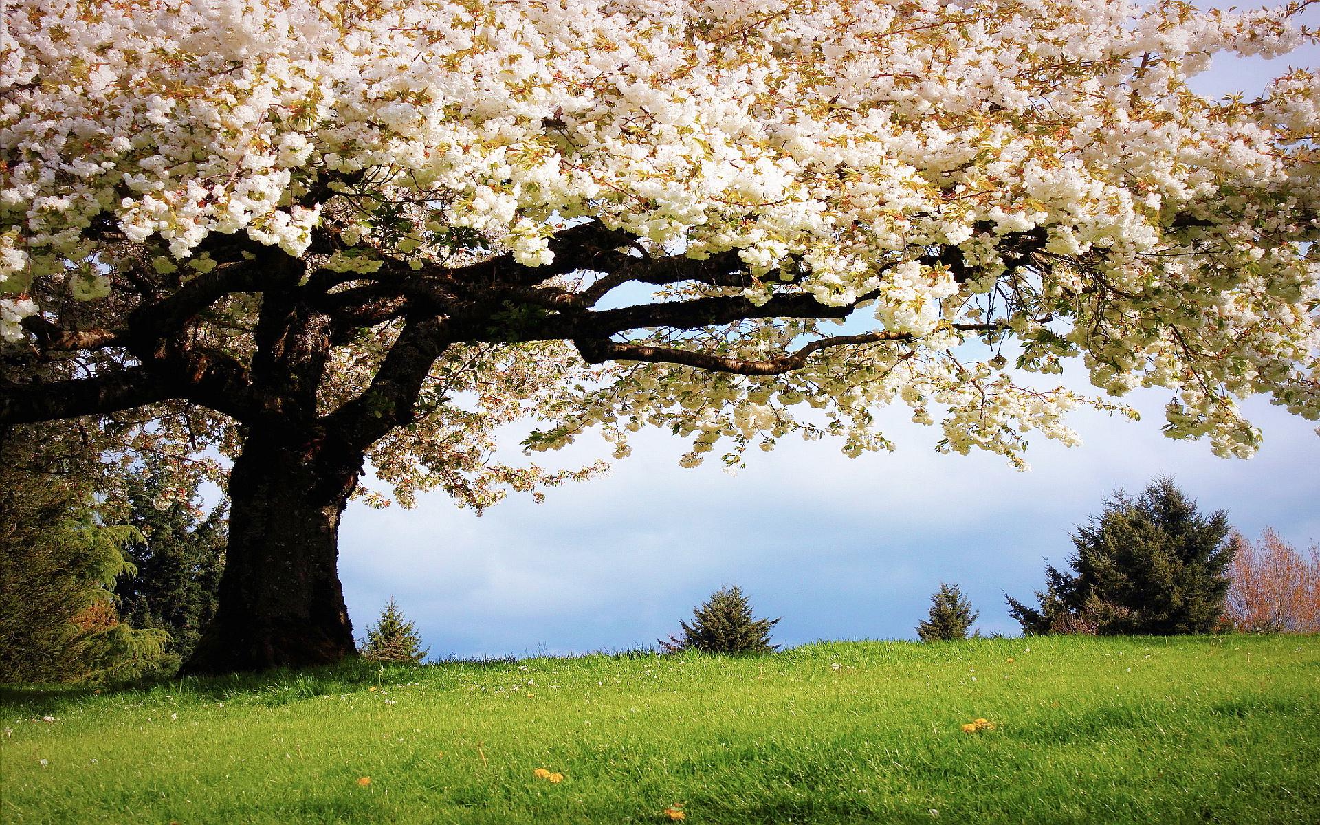 Spring cherry tree