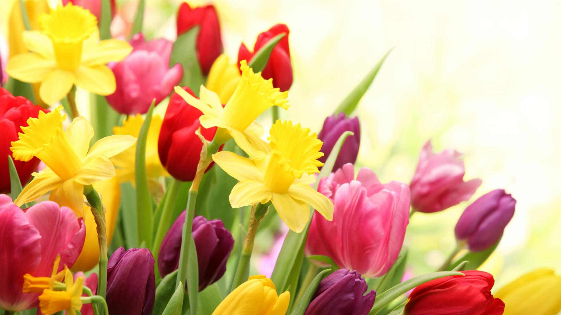Wallpaper Tags: colorful nature tulips flowers pink red daffodils yellow spring fresh purple