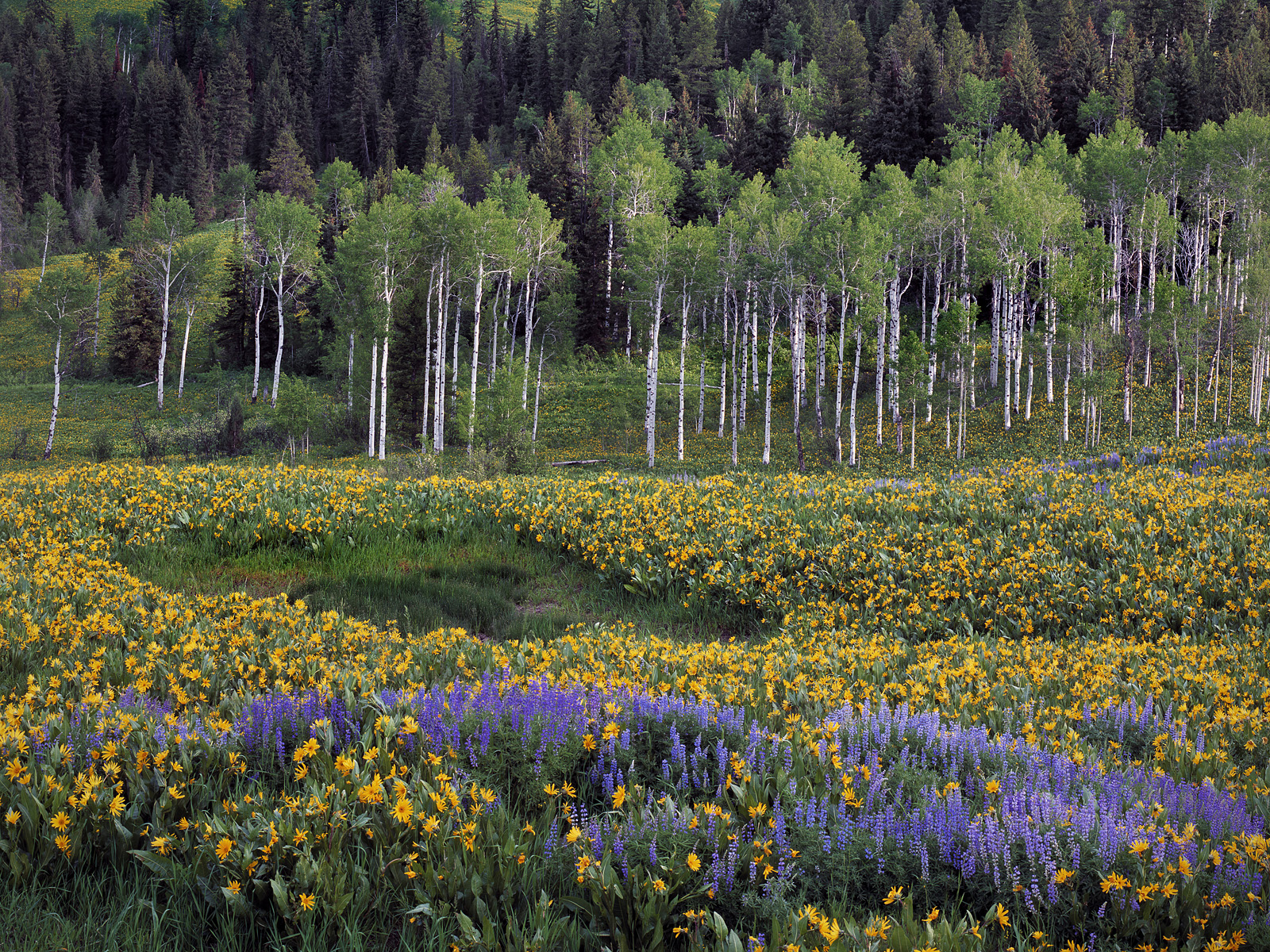 Spring Meadow, Caribou Mountains, ...