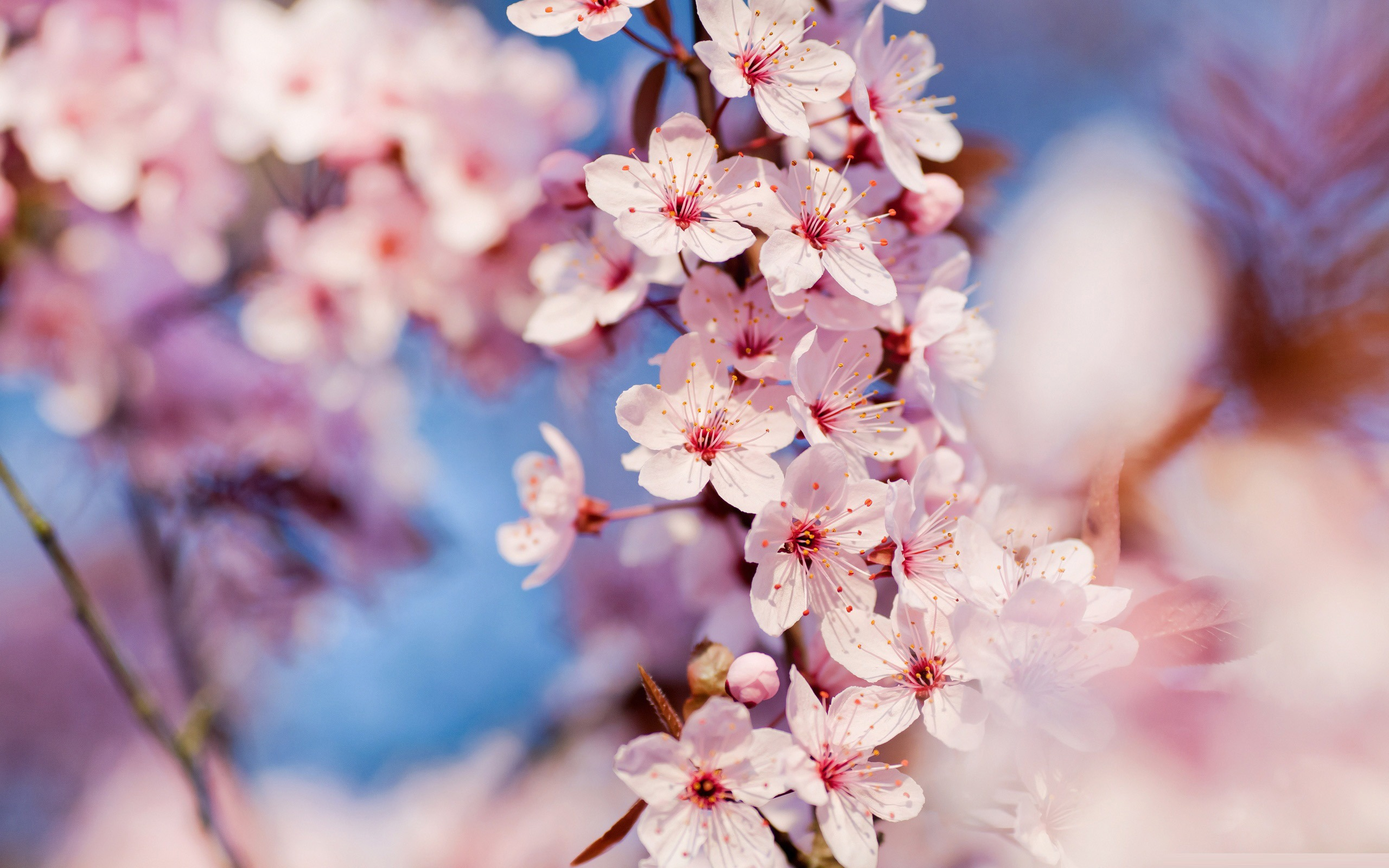 Sakura Trees Spring 17 HD Wallpaper