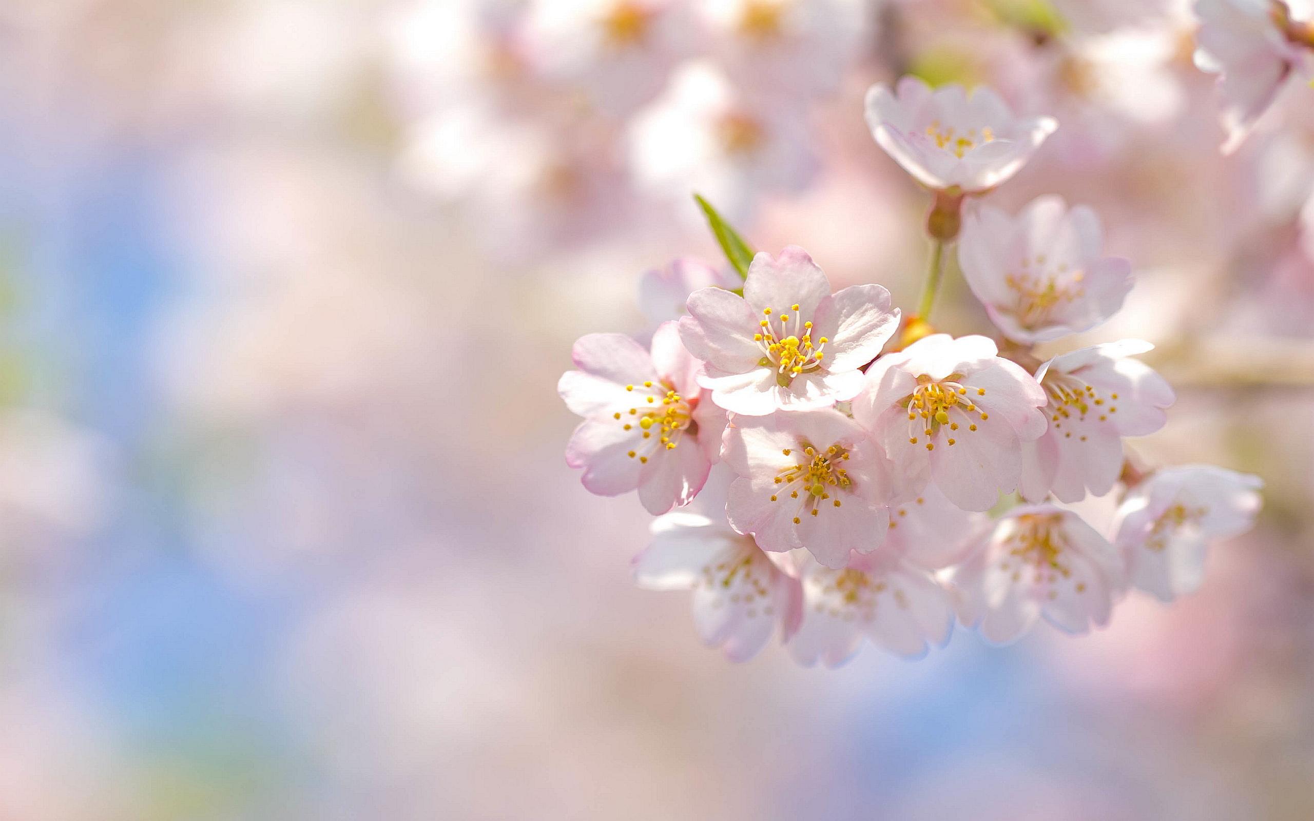 Spring sakura cherry