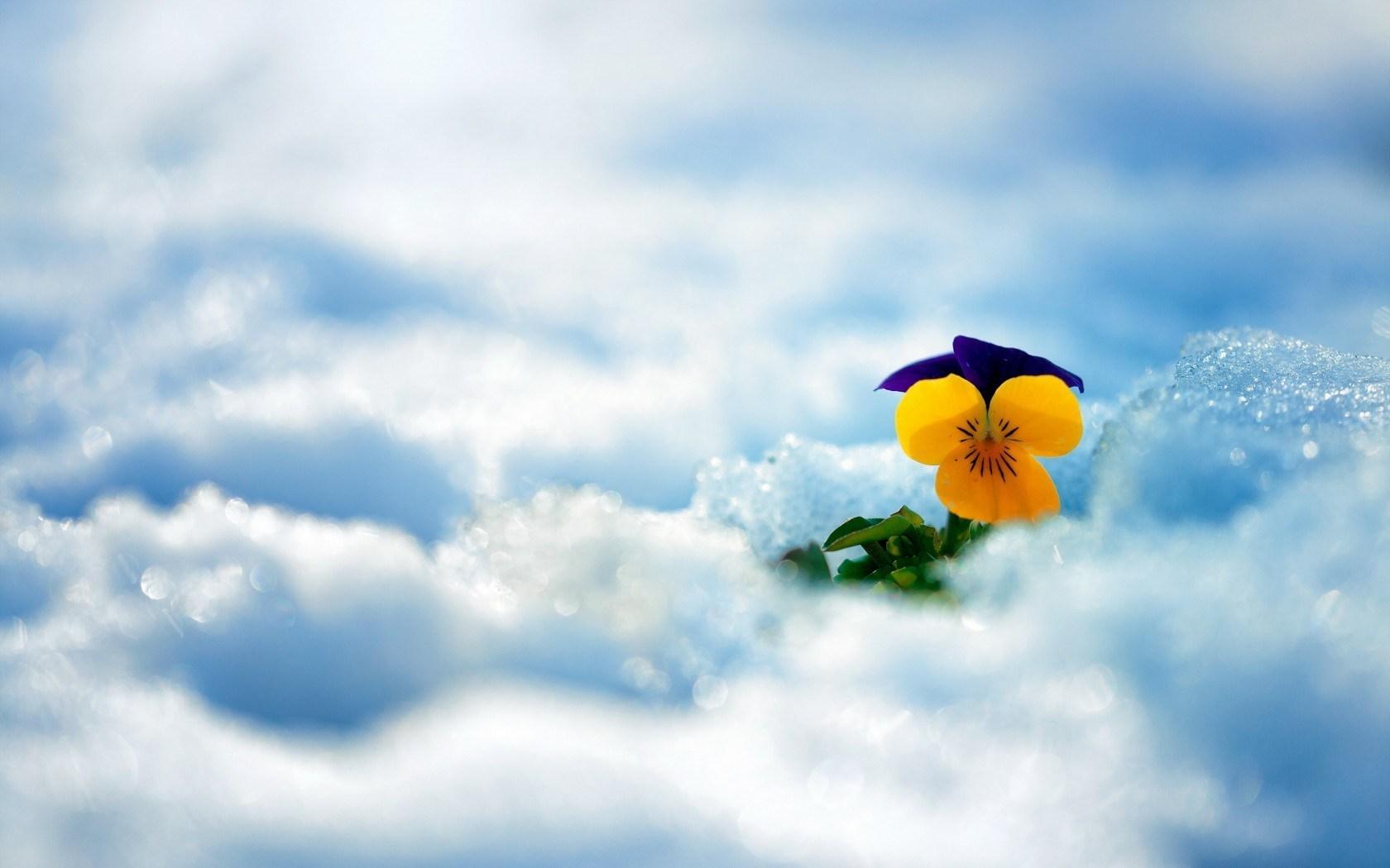 Spring Snow Flower Pansy