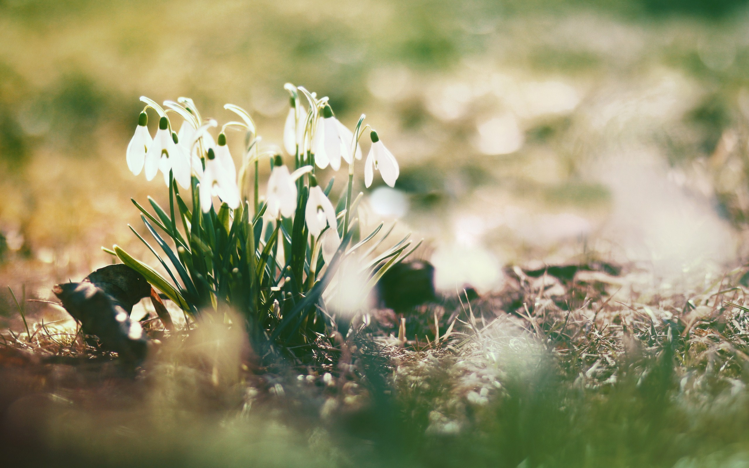 Download by size:Handphone/Tablet/Desktop (Original size). Tags: #Snowdrops #spring · «