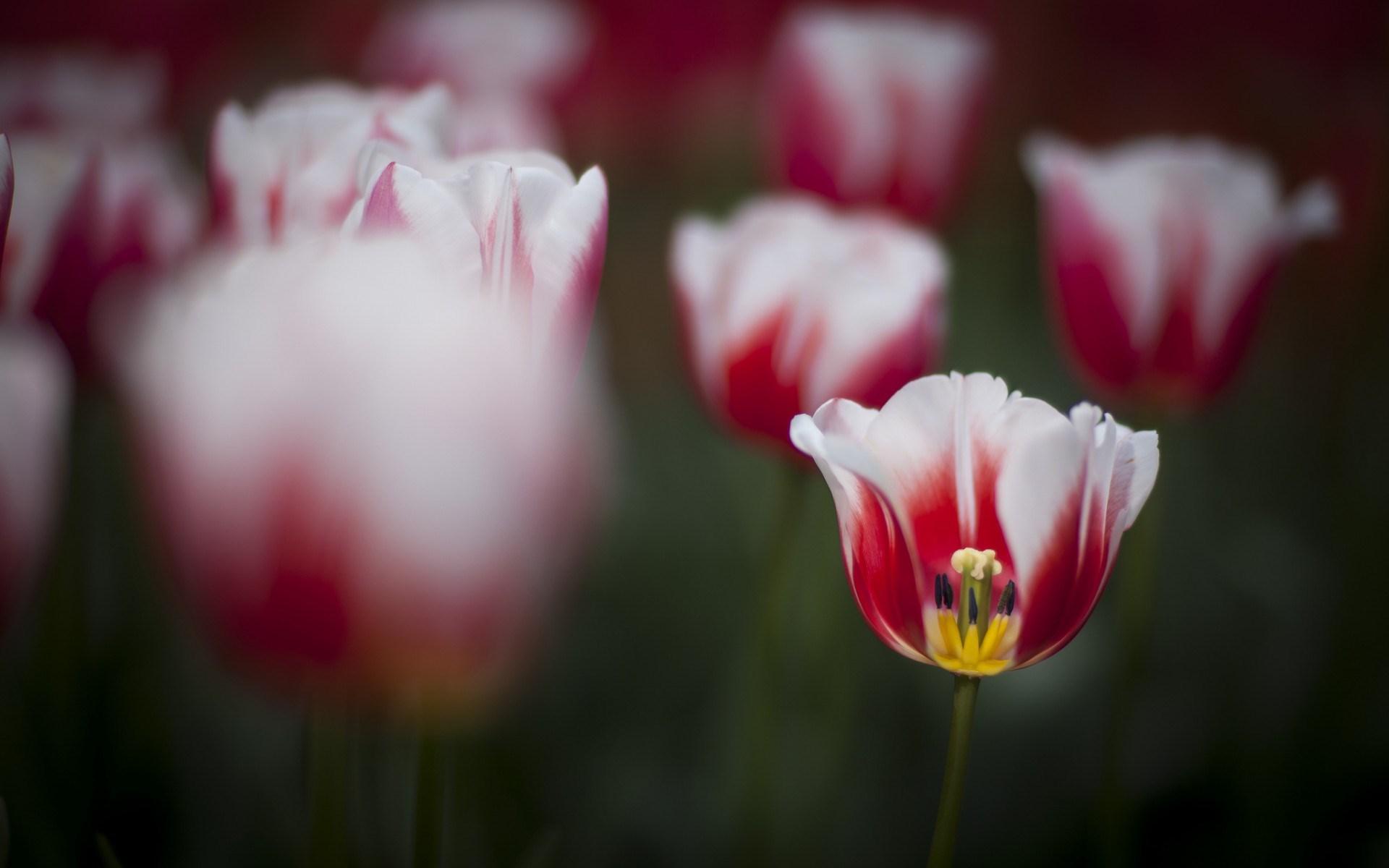 Spring Tulips Focus Nature