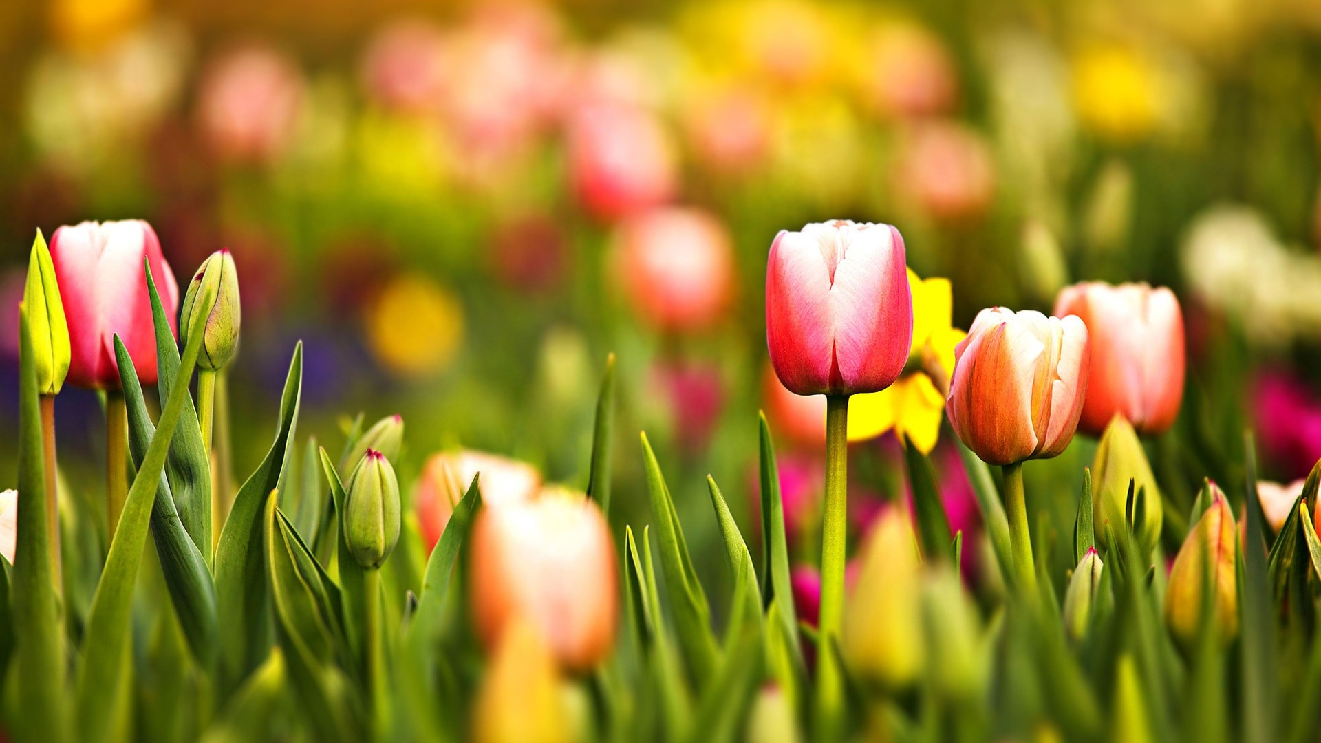 Spring Tulips Screensavers