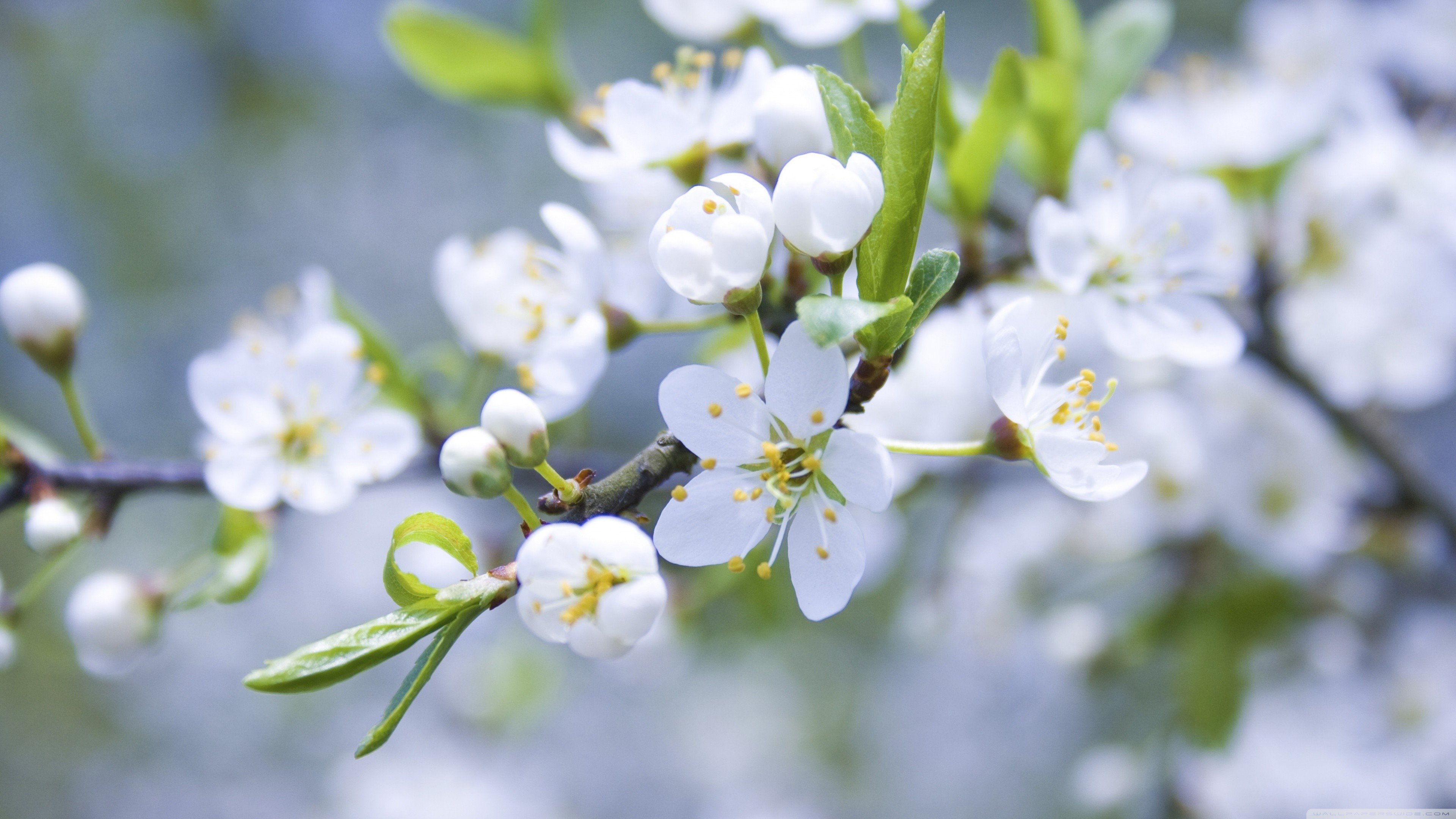 white flowers spring blossoms macro wallpaper background