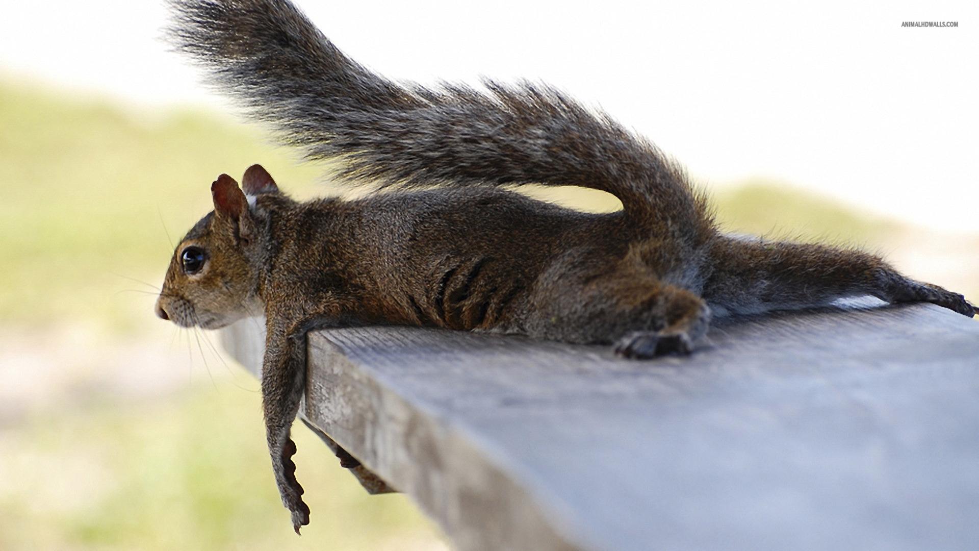 Squirrel wallpaper 1920x1080