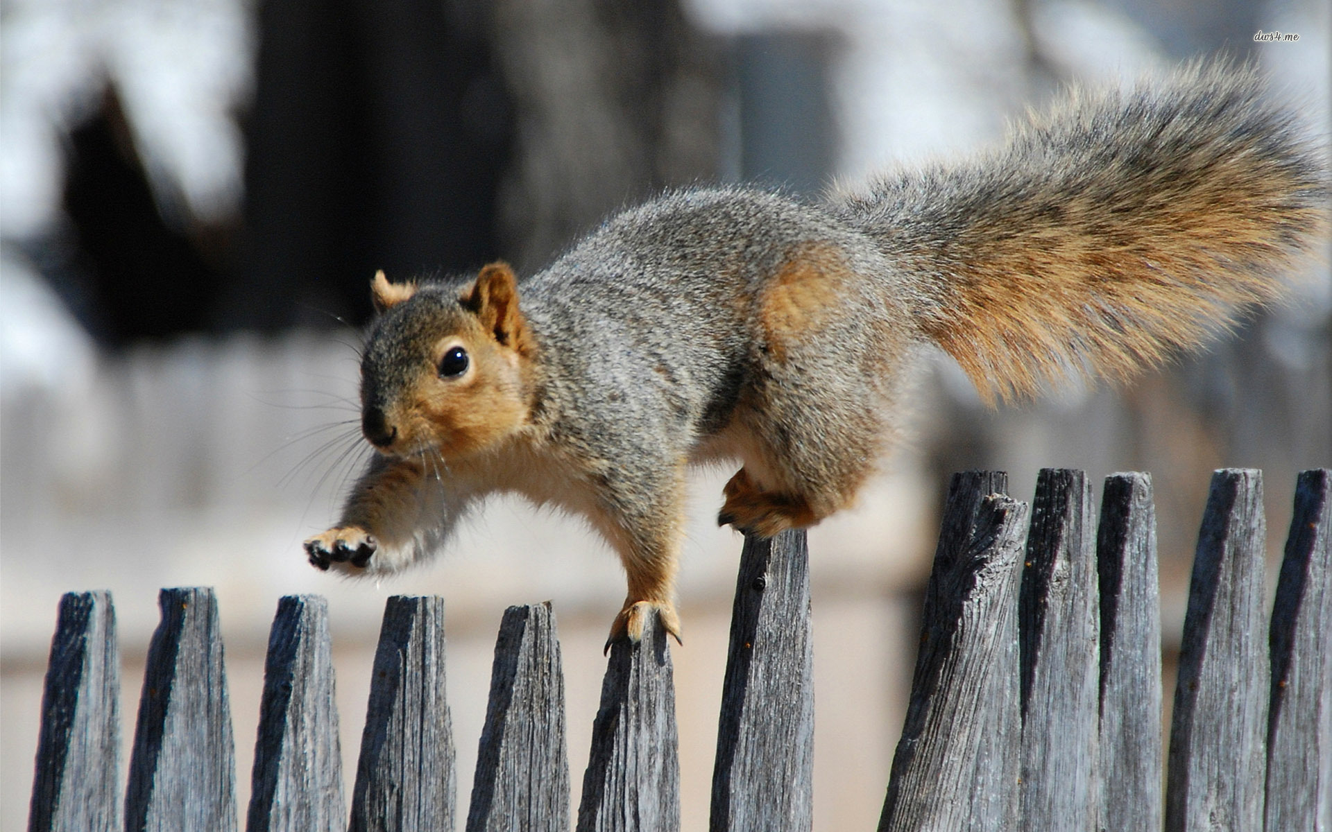 ... Squirrel on the fence wallpaper 1920x1200 ...